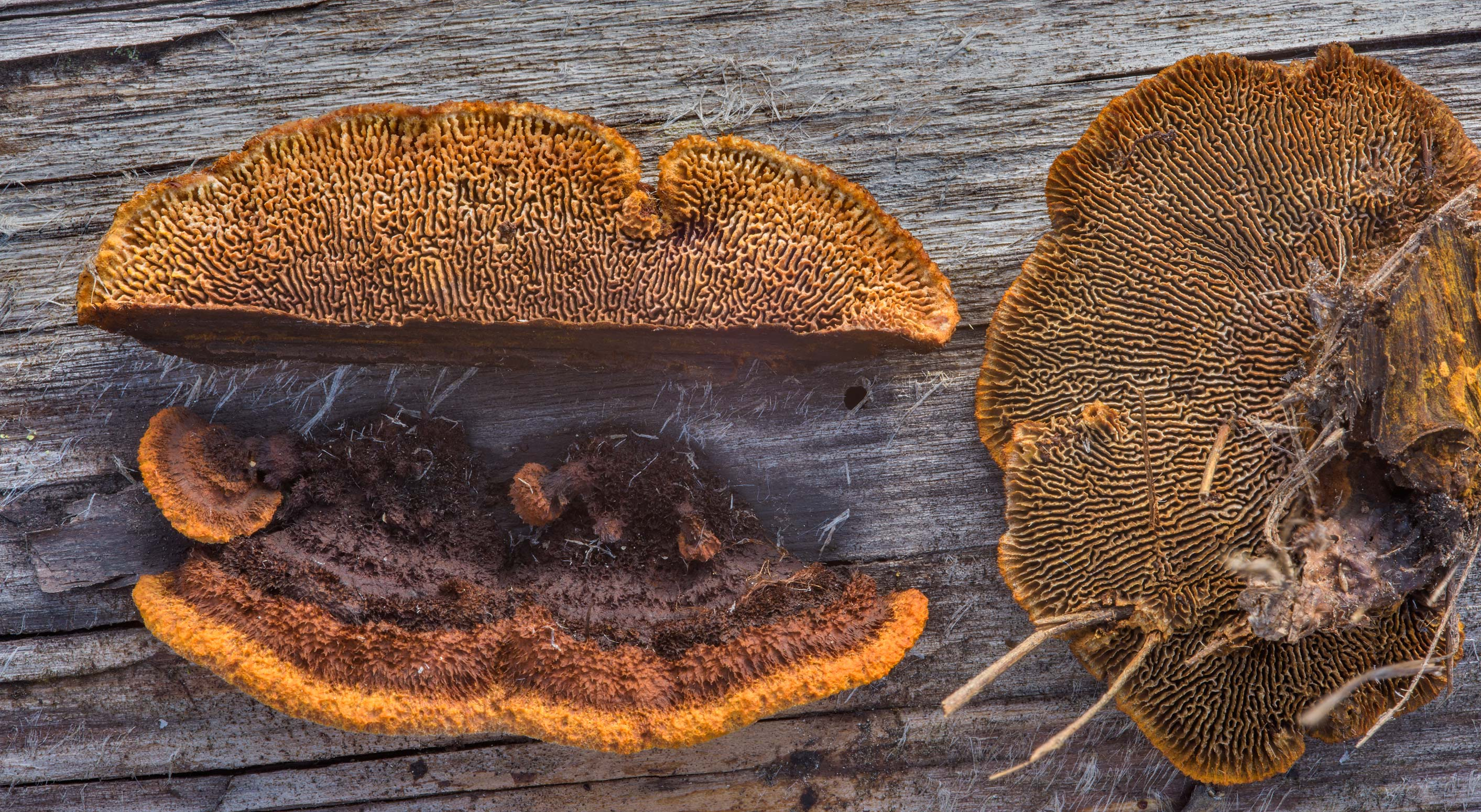 Rusty gilled polypore mushrooms (Gloeophyllum...miles north from St.Petersburg. Russia