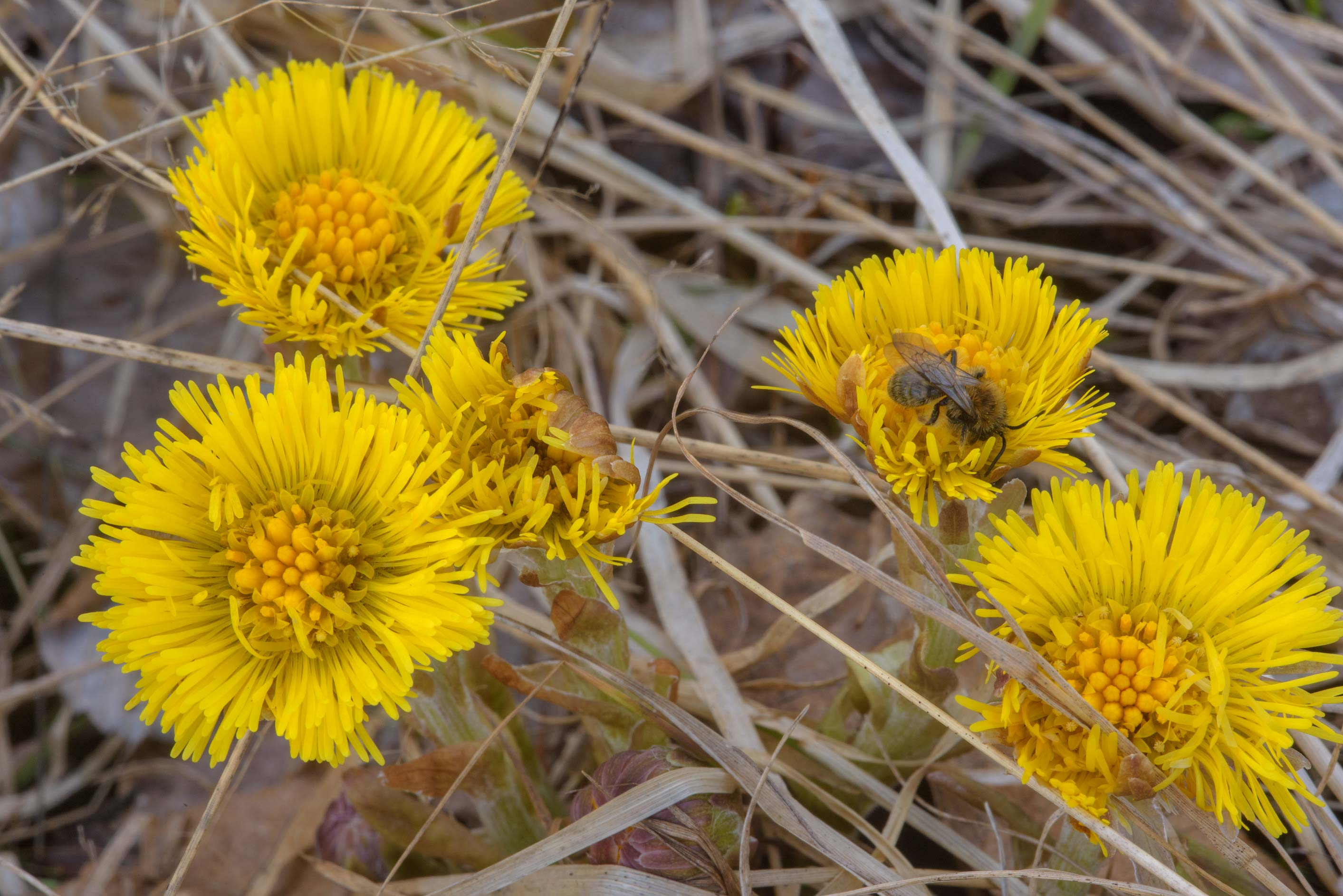 Coltsfoot (Tussilago farfara, Russian name Mat I...miles north from St.Petersburg. Russia