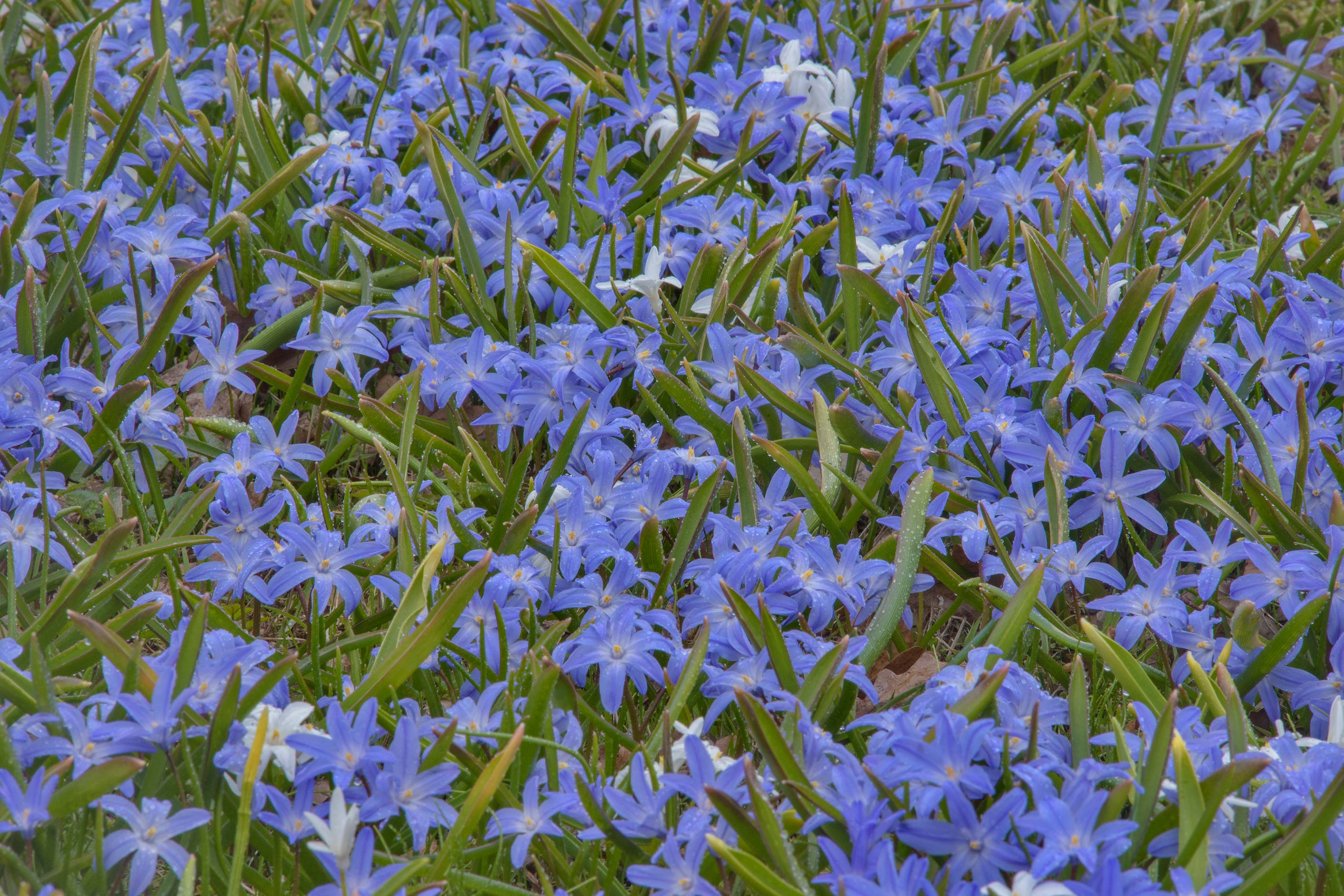 Masses of Lucile's glory-of-the-snow (Chionodoxa...Institute. St.Petersburg, Russia