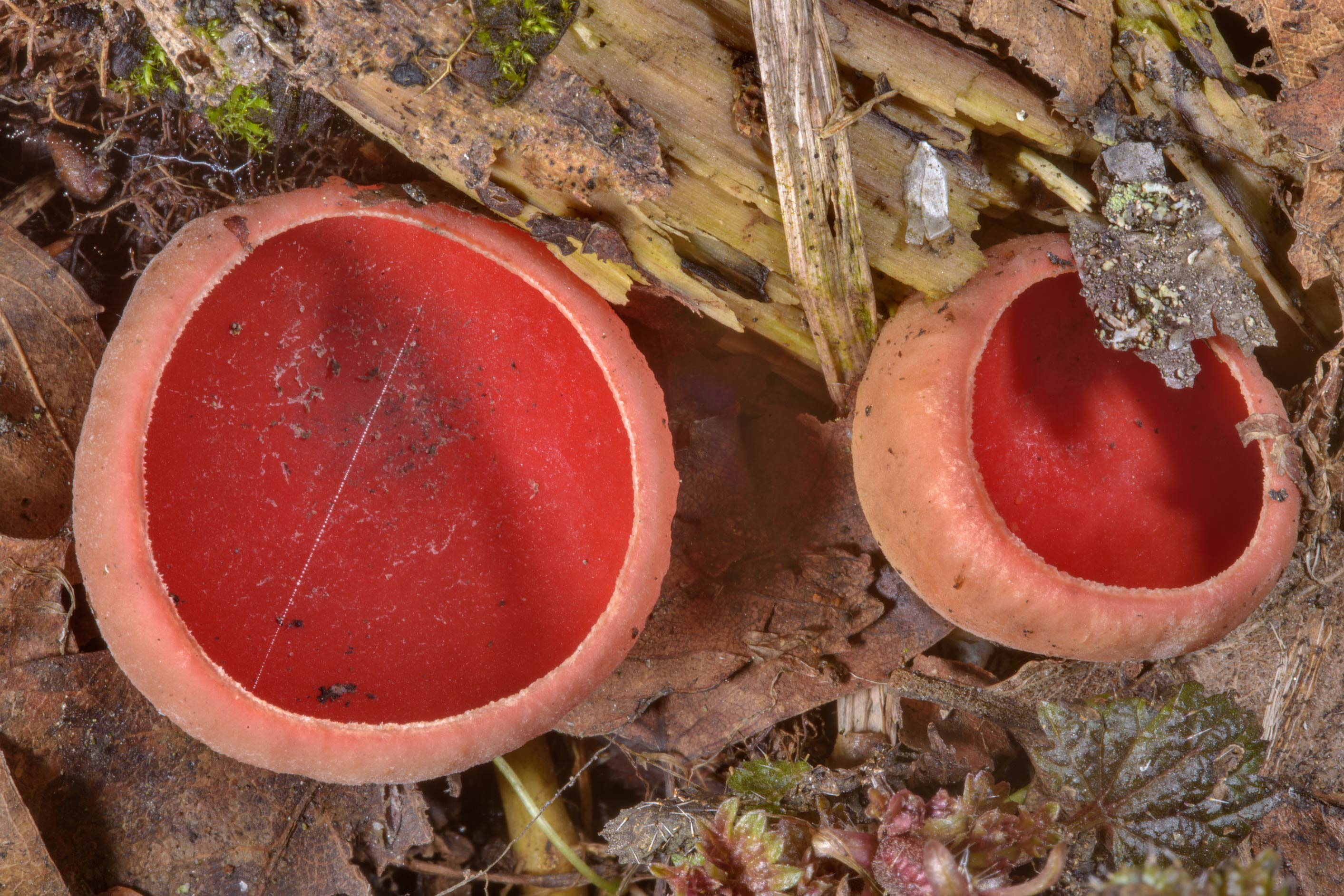 Close up of mushrooms Sarcoscypha austriaca near...Lake. North from St.Petersburg, Russia