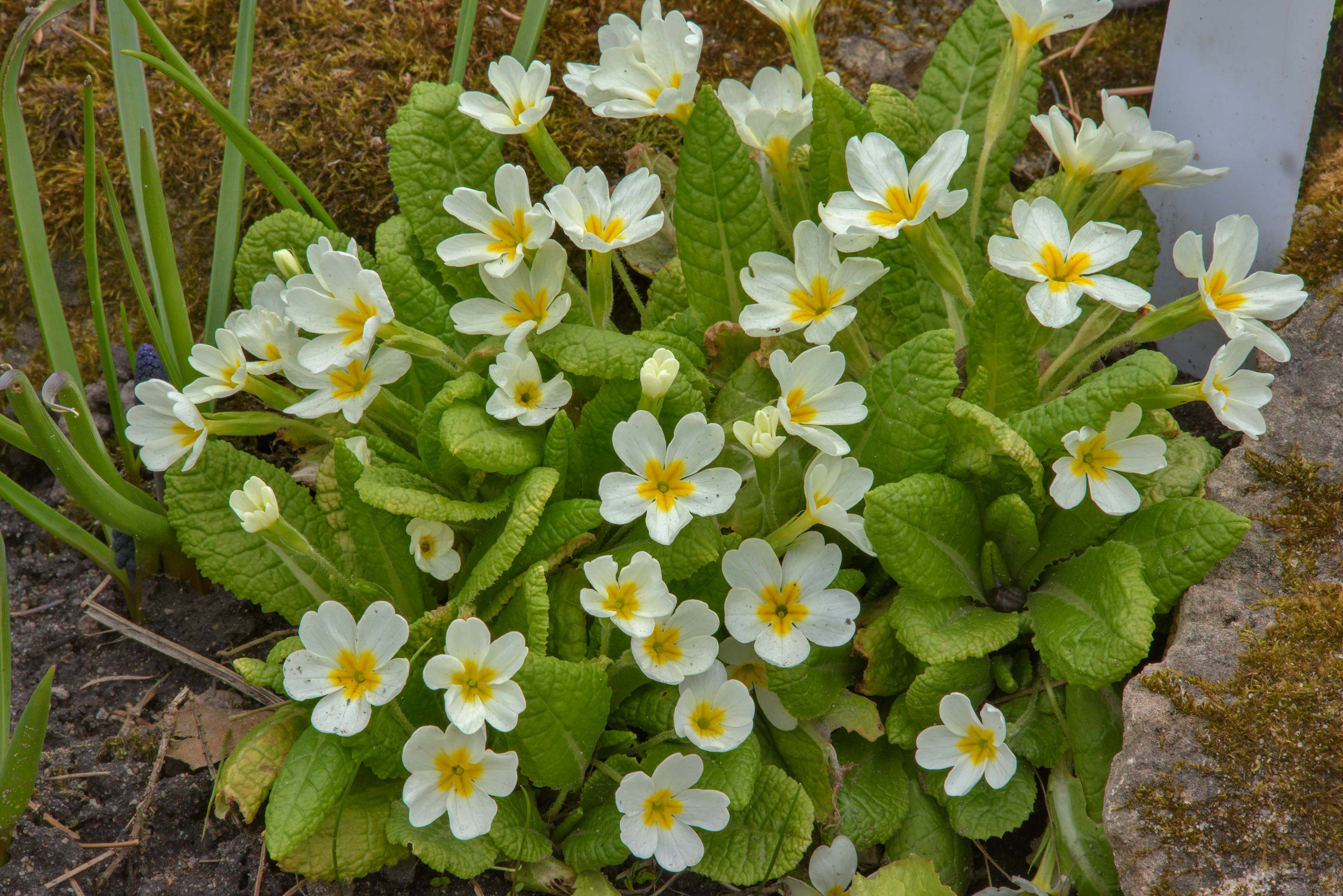 Yellow flowers of primrose (Primula) in Botanic...Institute. St.Petersburg, Russia