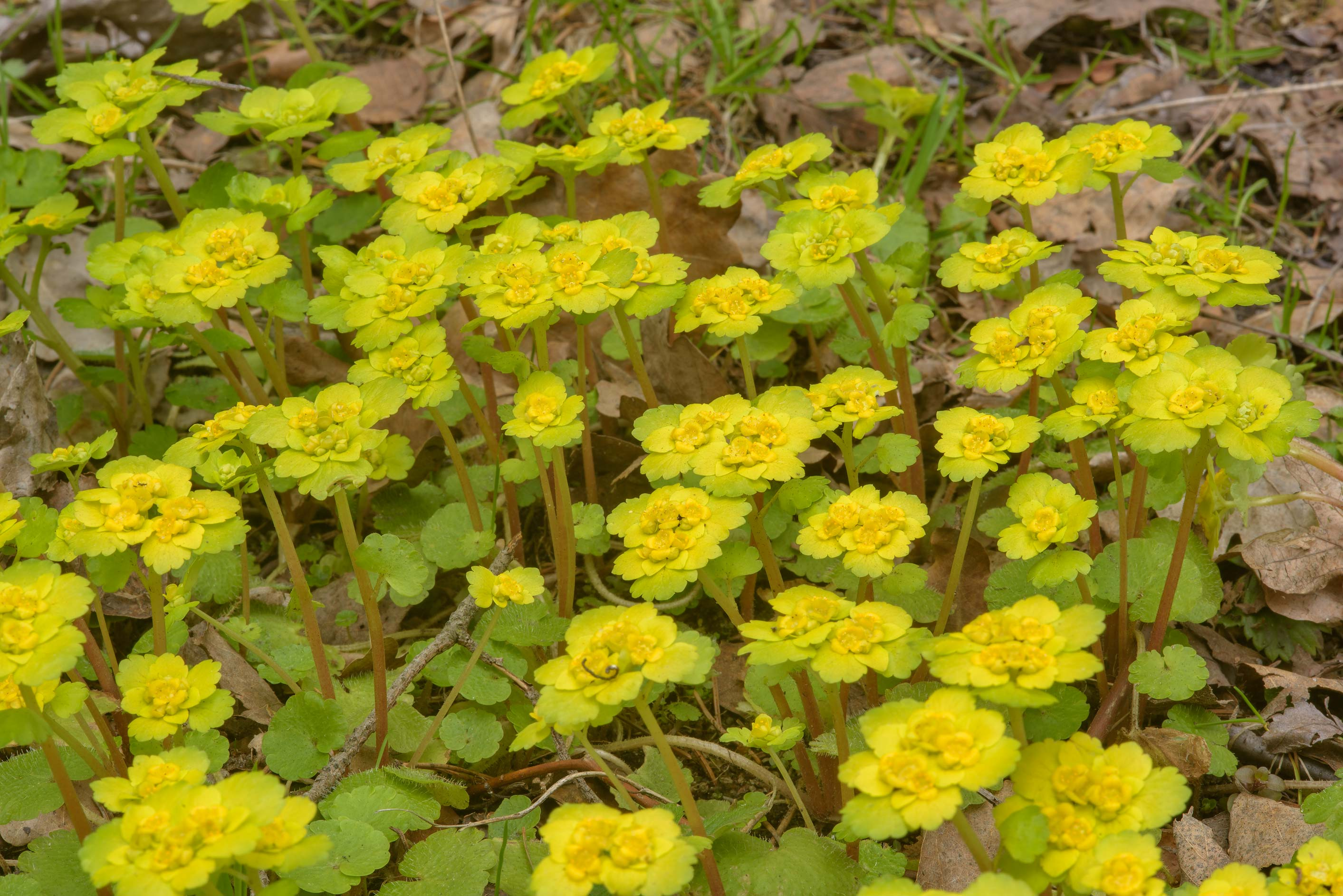 Alternate-leaved Golden Saxifrage (Chrysosplenium...Nos, west from St.Petersburg. Russia