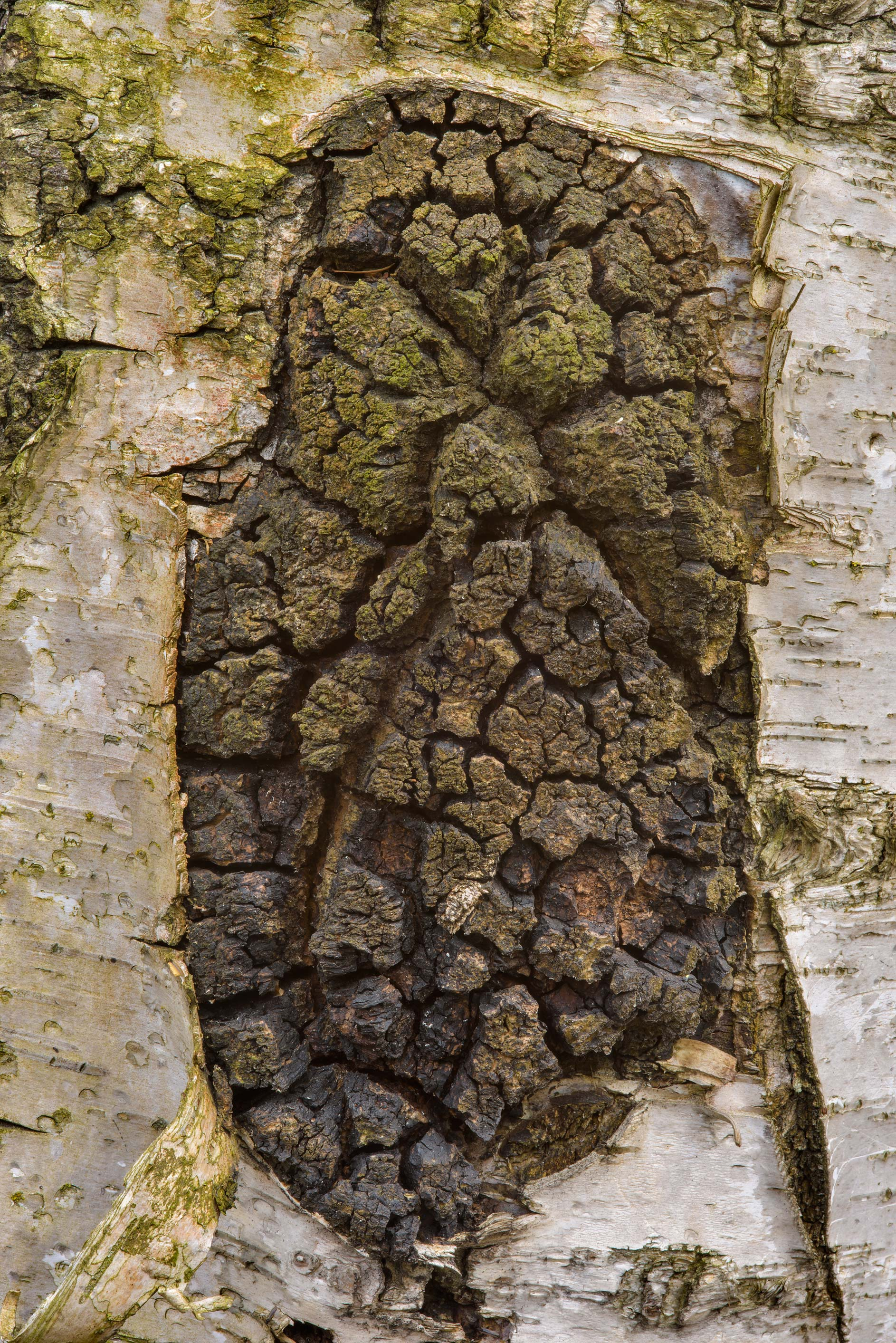 Chaga (Inonotus obliquus) on a birch behind a...Sosnovka Park. St.Petersburg, Russia