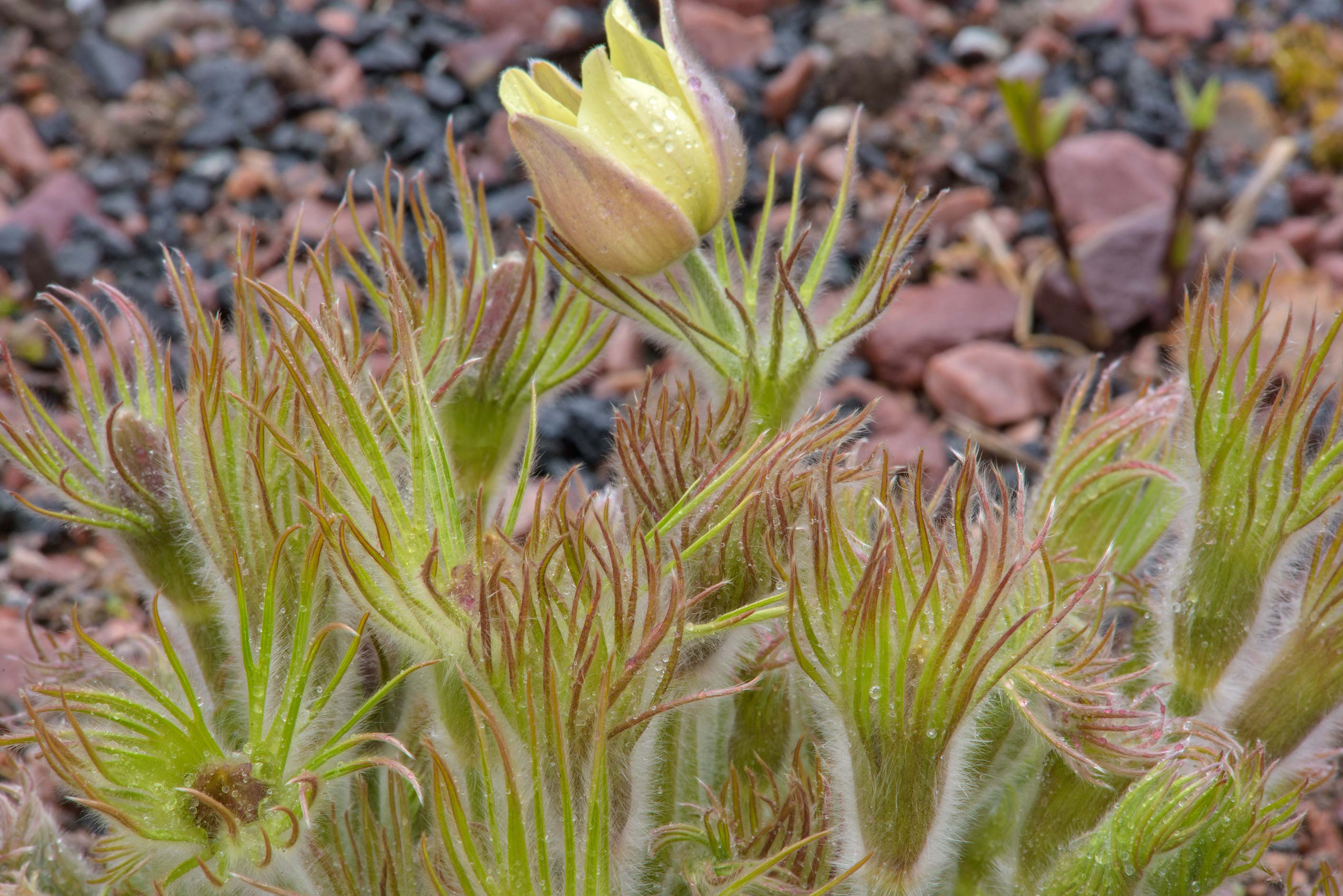 Shoots of yellow pasque flower (Pulsatilla) in...Institute. St.Petersburg, Russia