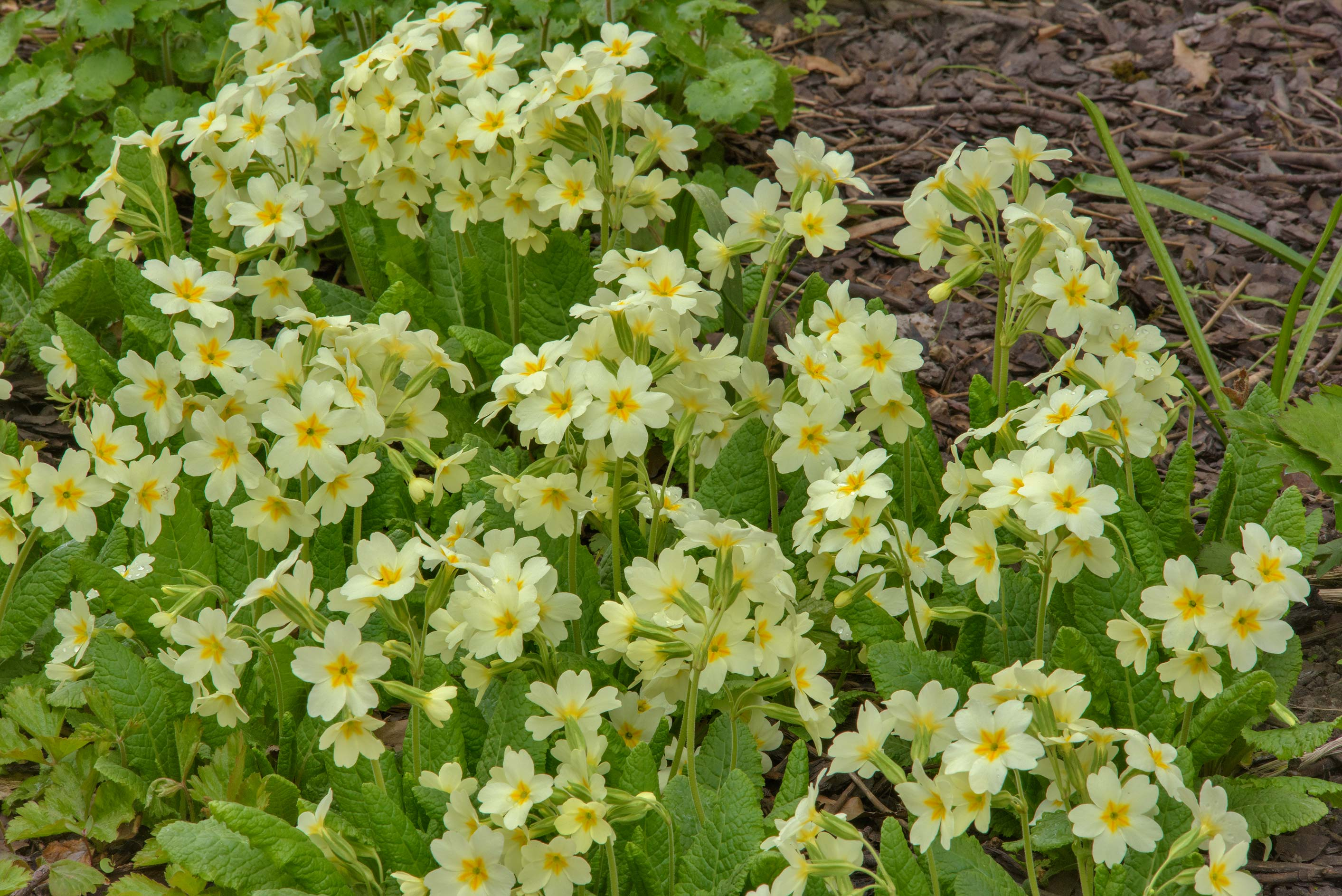 Yellow primula flowers in Botanic Gardens of...Institute. St.Petersburg, Russia