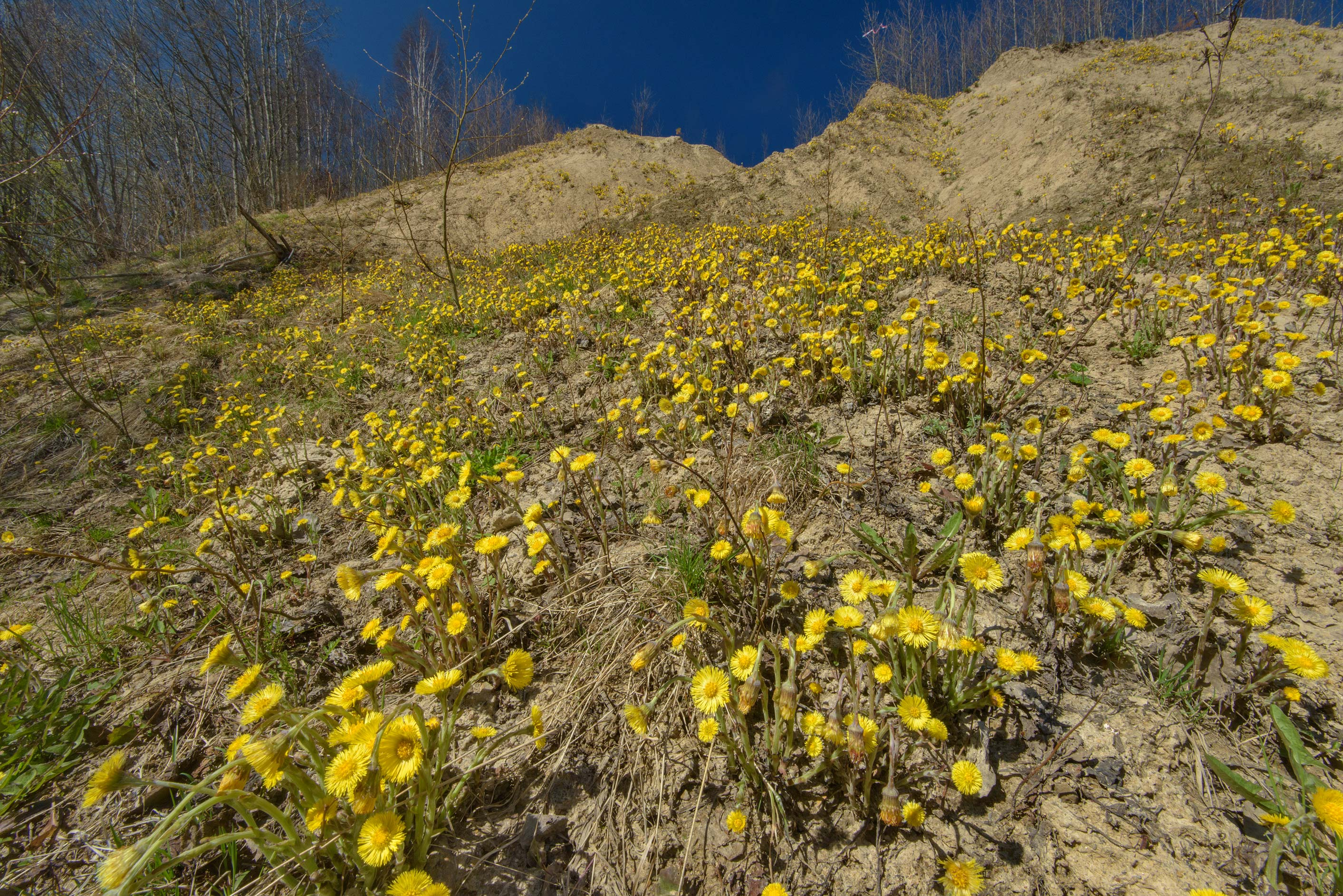 Blooming coltsfoot (Tussilago farfara) on a sand...north from St.Petersburg. Russia