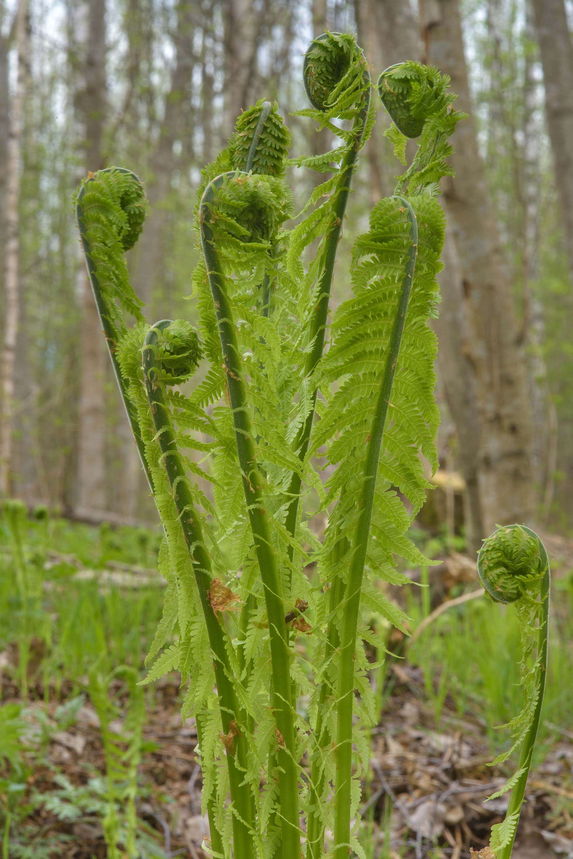Ferns with fiddleheads in Kuzmolovo, north from St.Petersburg. Russia