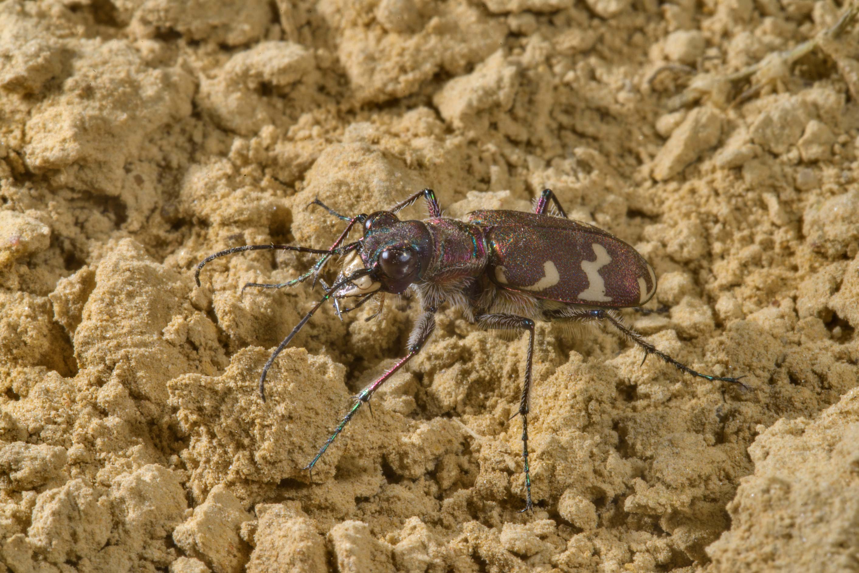 Close up of a tiger beetle (Cicindela) in a...north from St.Petersburg. Russia