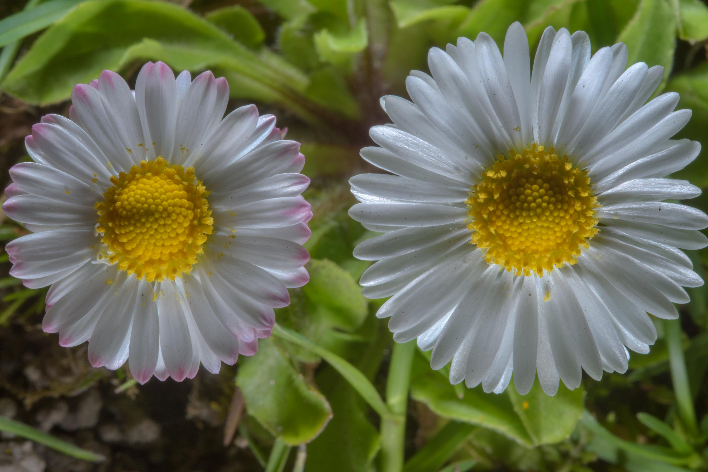 Common daisy (Bellis perennis, Russian name...Institute. St.Petersburg, Russia