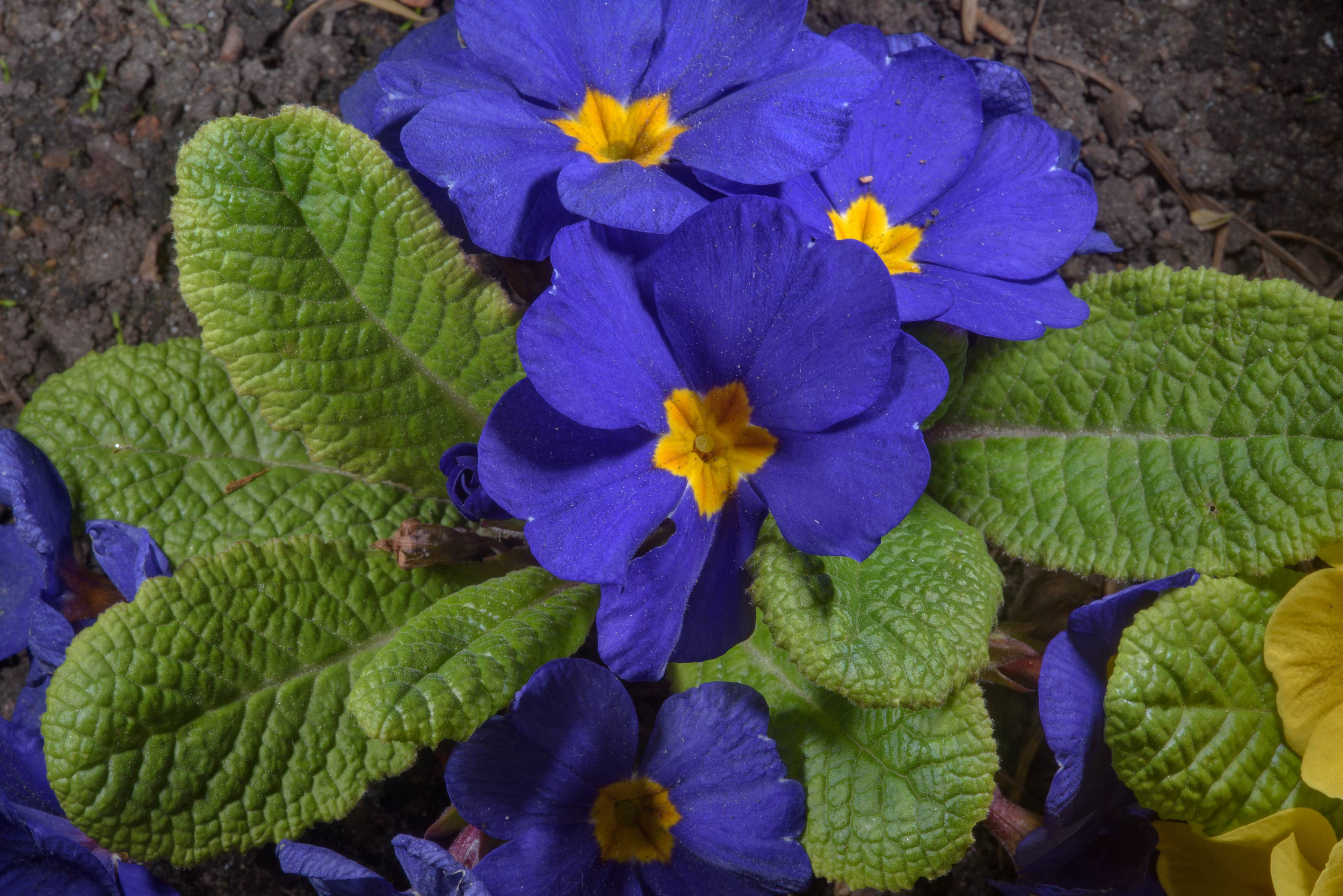 Blue primrose flowers (Primula) in Botanic...Institute. St.Petersburg, Russia