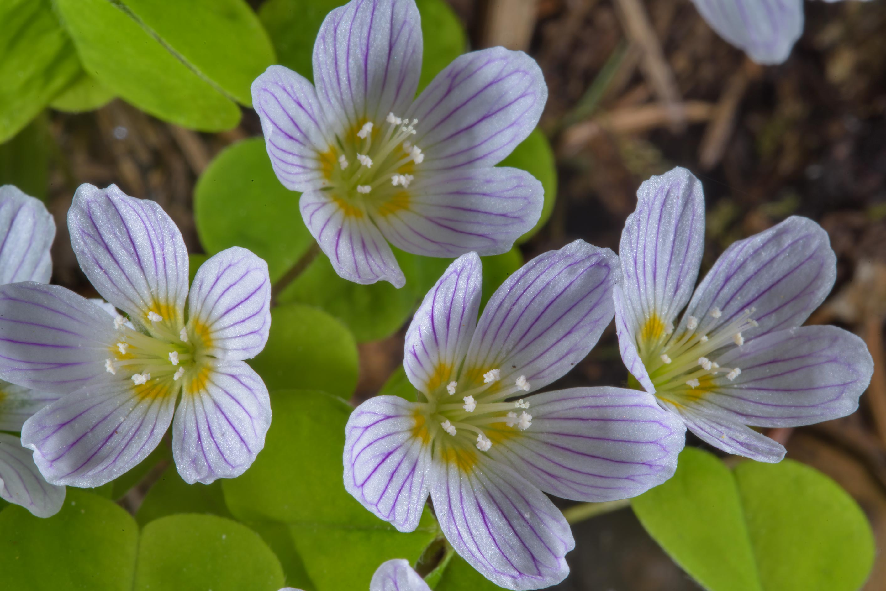 Blooming wood sorrel (Oxalis acetosella, Russian...West from St.Petersburg, Russia