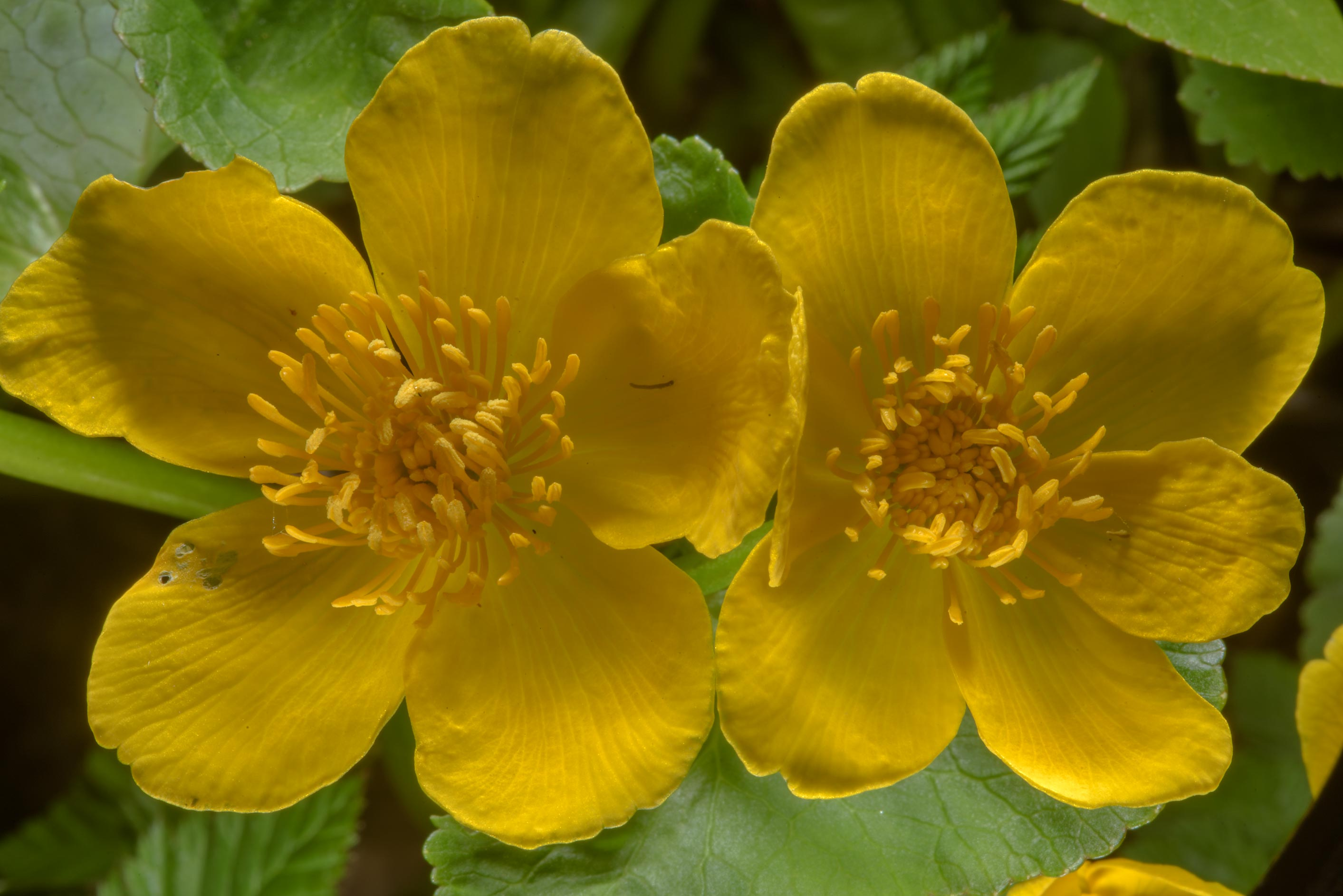Marsh marigold (kingcup, Caltha palustris...West from St.Petersburg, Russia
