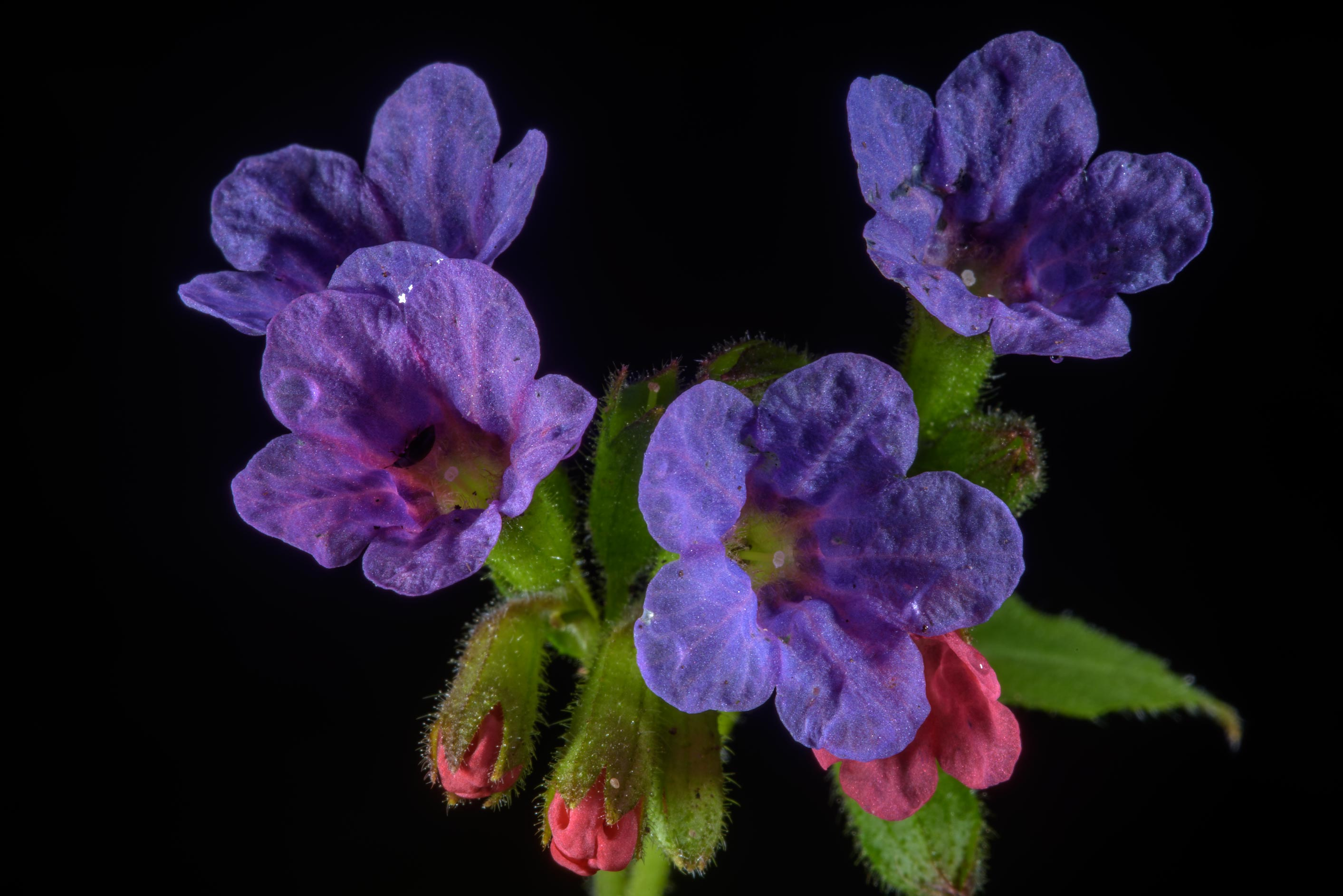 Blue flowers of lungwort (Pulmonaria obscura...south from St.Petersburg. Russia