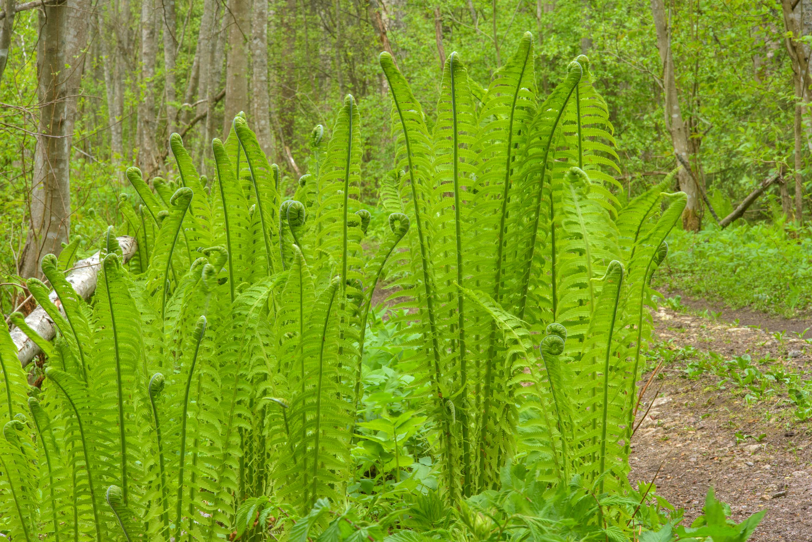 Young ferns near Dibuny, north-west from St.Petersburg, Russia