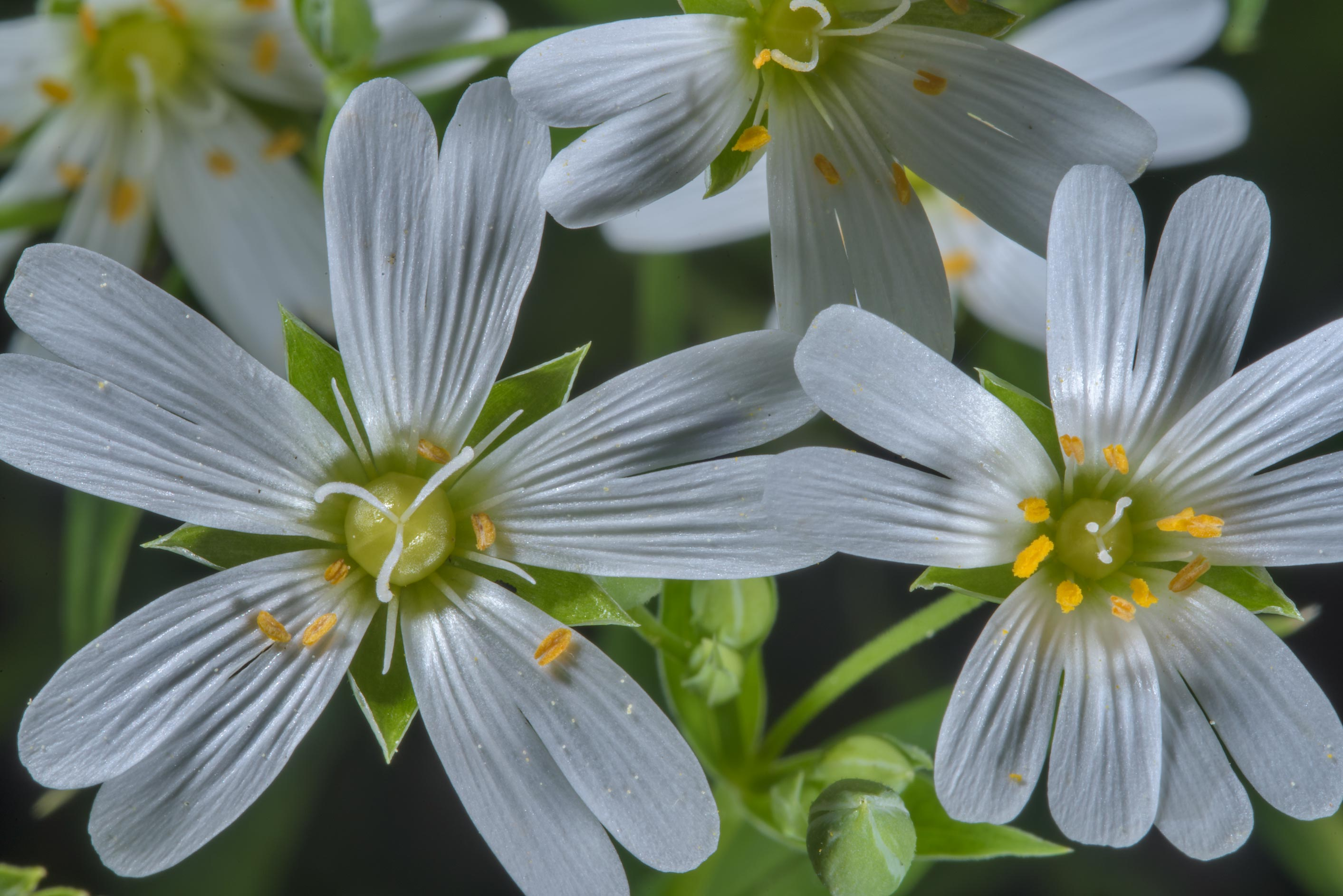 Stitchwort (Stellaria) in Lisiy Nos, west from St.Petersburg. Russia