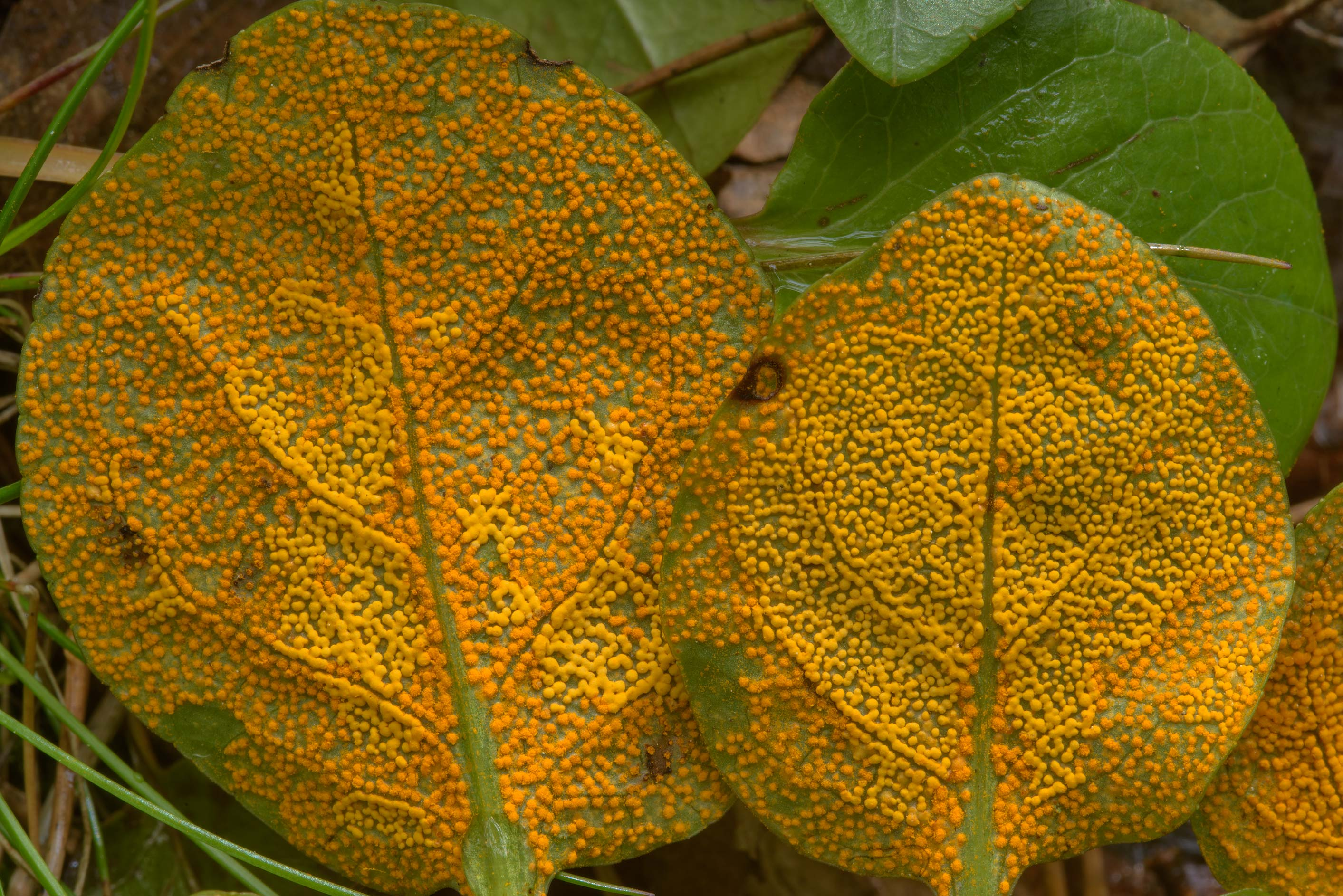 Close up of rust fungus Chrysomyxa pyrolae on...Pesochny, near St.Petersburg. Russia