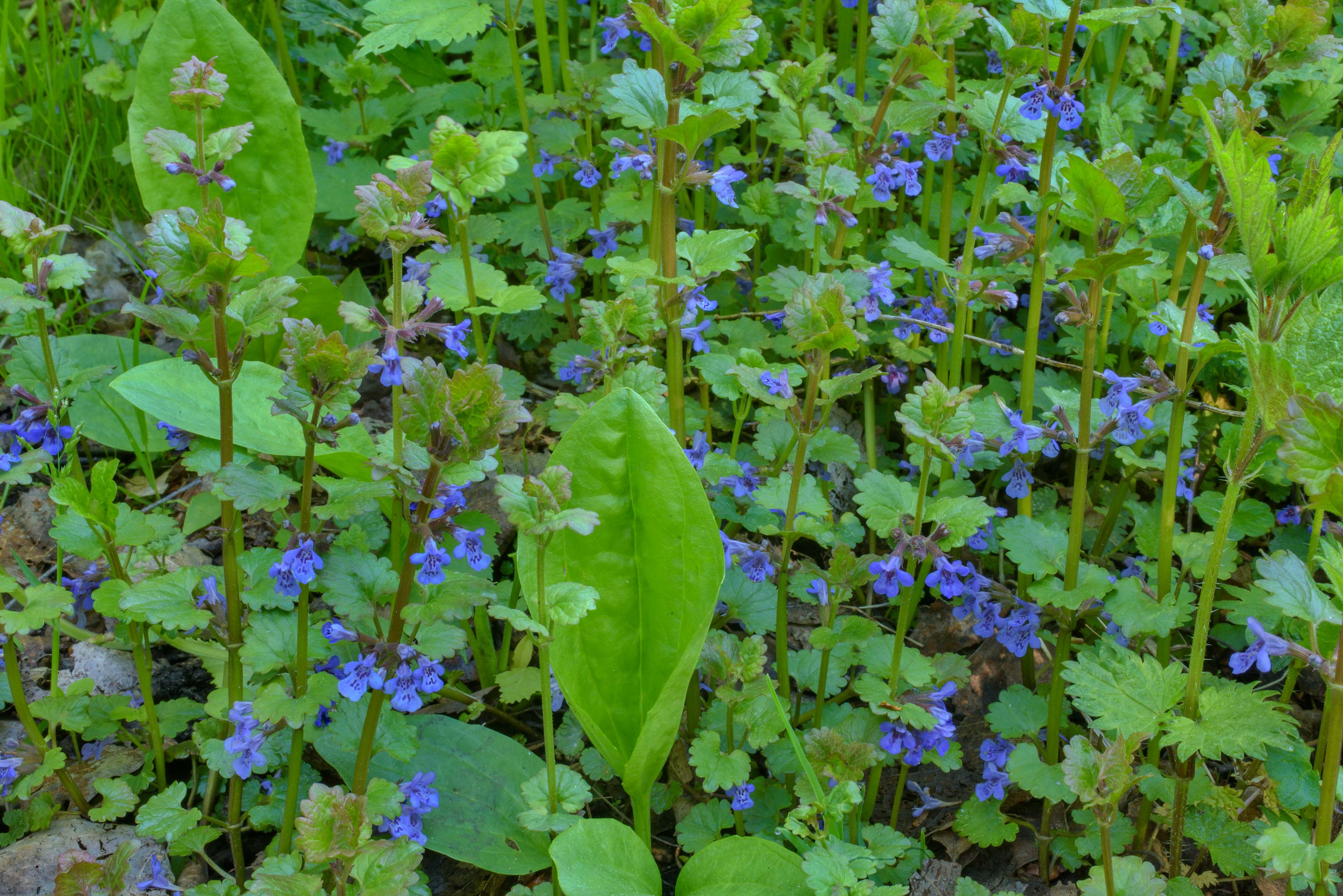 Small mint like flowers of Ground-ivy (Glechoma...Sosnovka Park. St.Petersburg, Russia