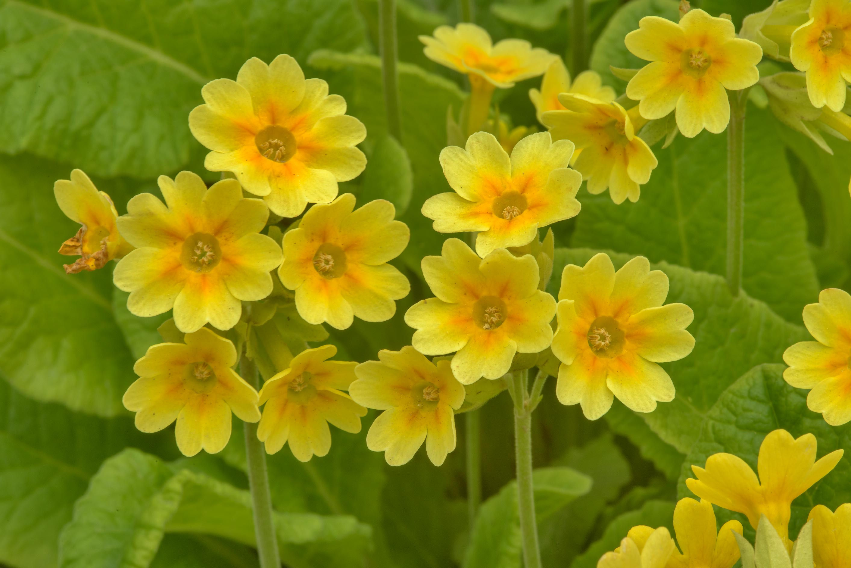 Yellow primrose (cowslip, Primula veris) in...Institute. St.Petersburg, Russia