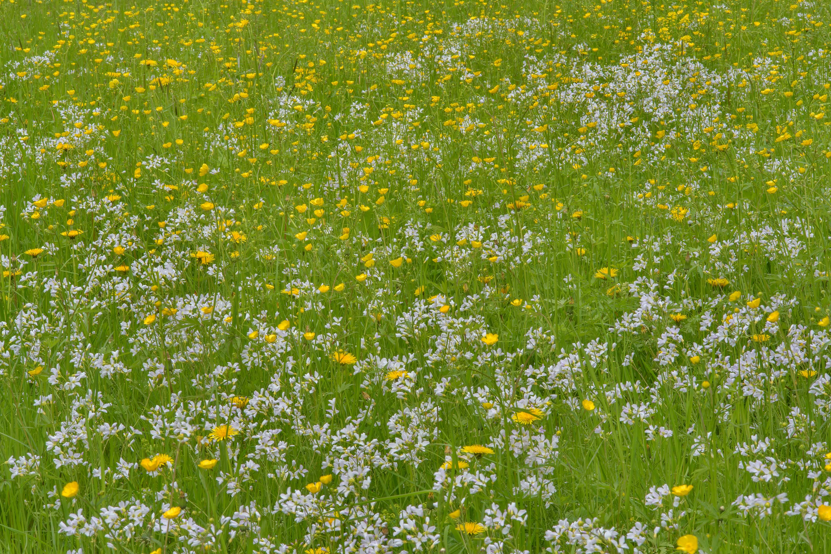 Green lawn with spring cress and dandelions in...Institute. St.Petersburg, Russia