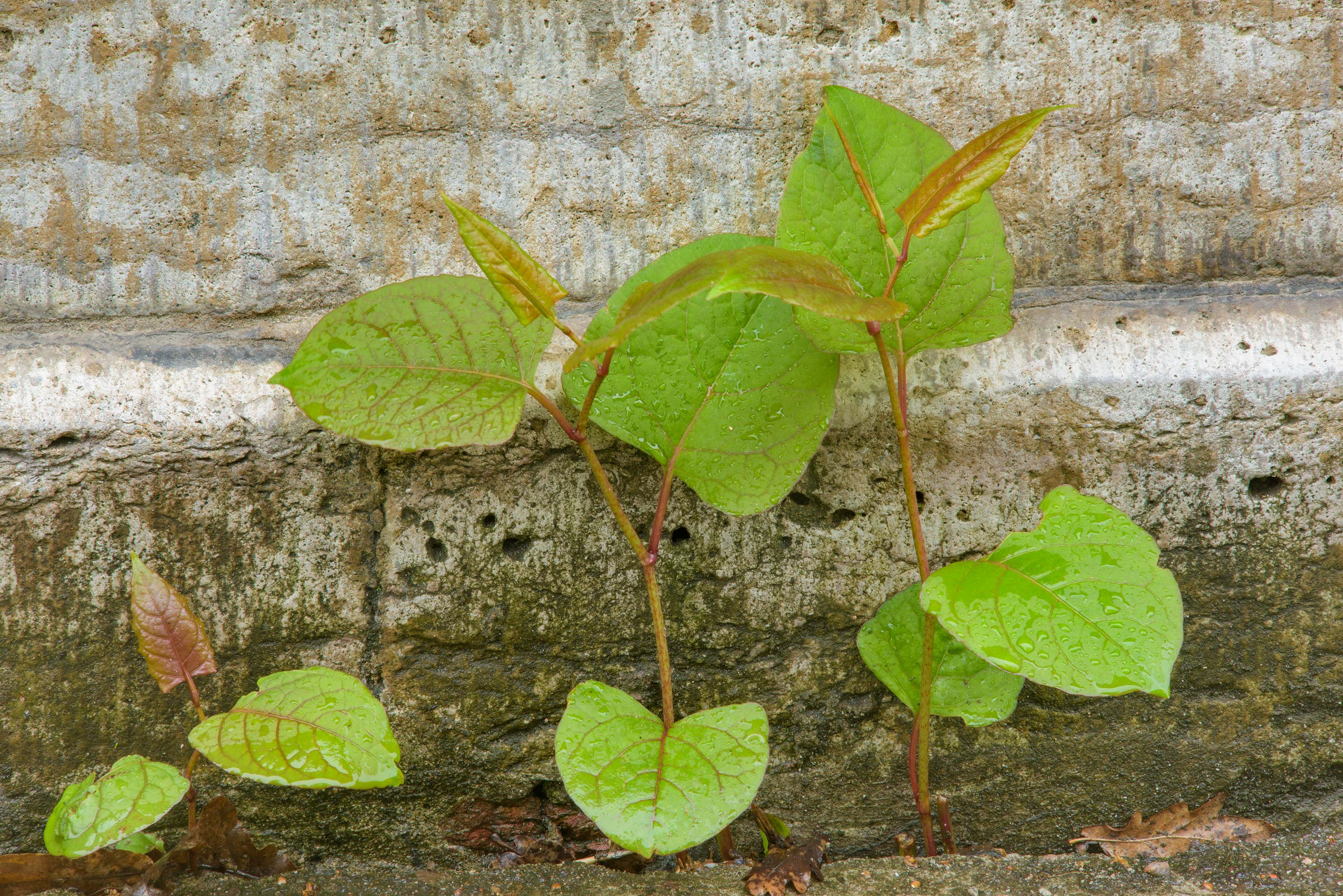 Shoots of giant knotweed (Polygonum sachalinense...Institute. St.Petersburg, Russia