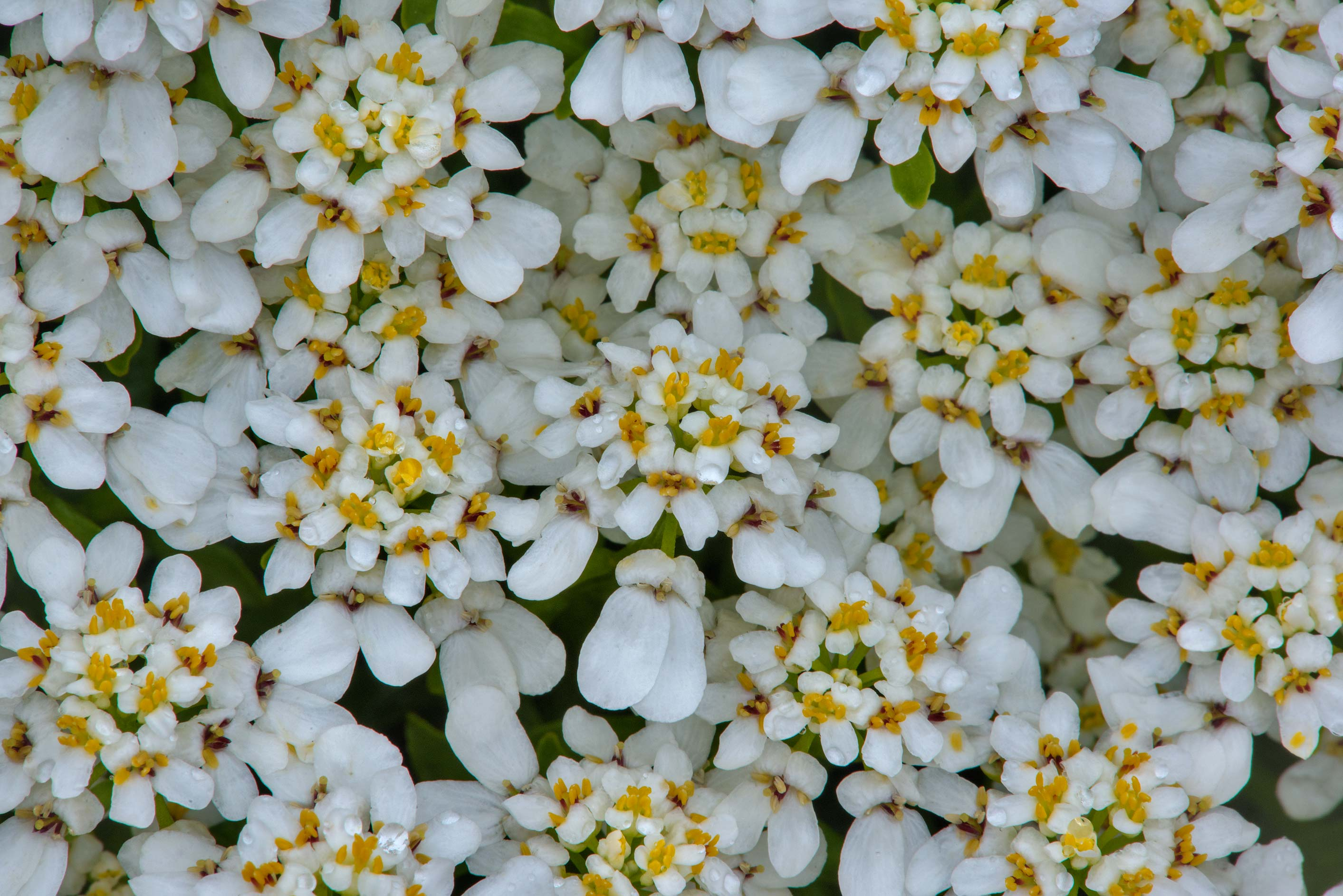 White flowers of Draba in Botanic Gardens of...Institute. St.Petersburg, Russia