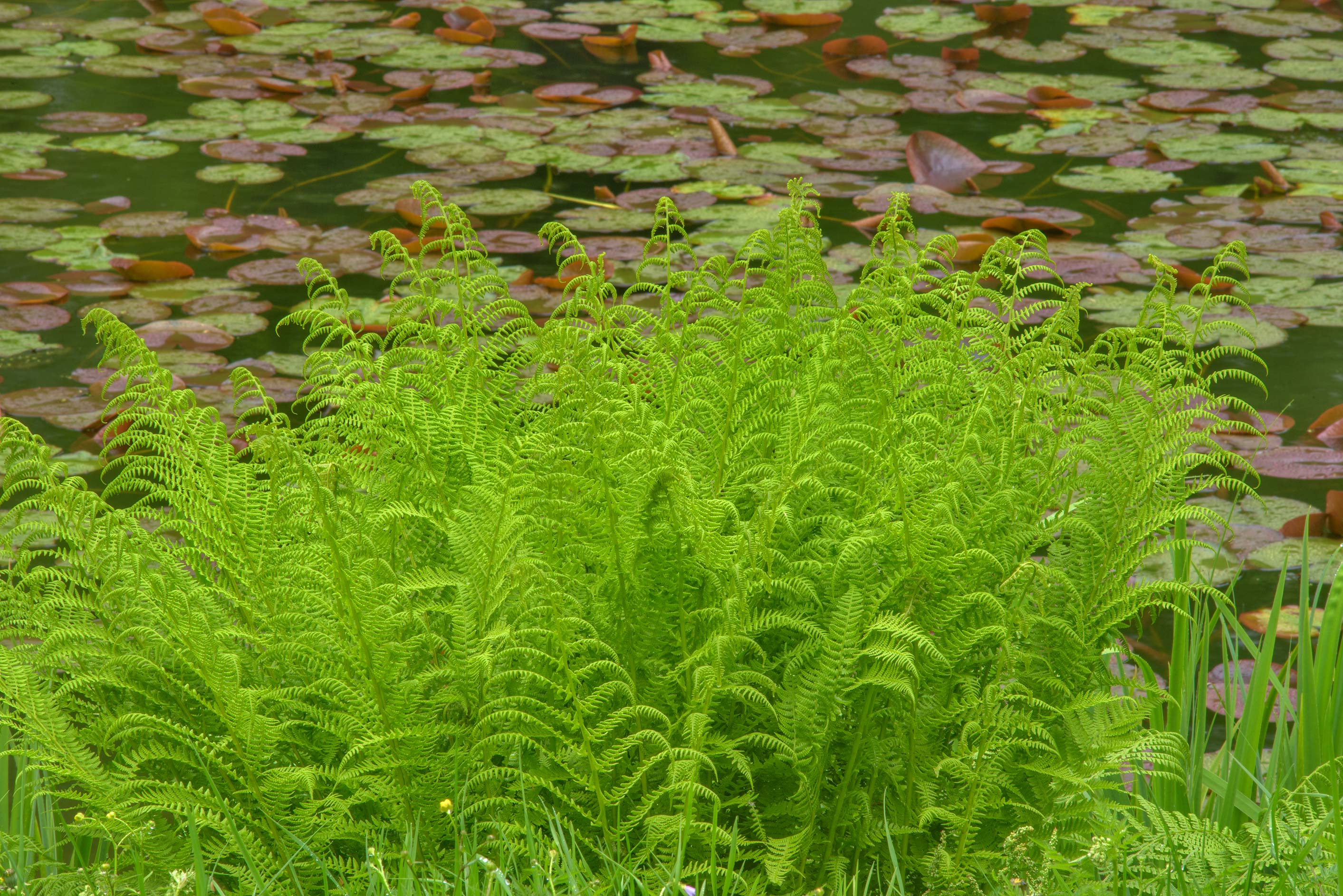 Ferns near a lily pond in Botanic Gardens of...Institute. St.Petersburg, Russia