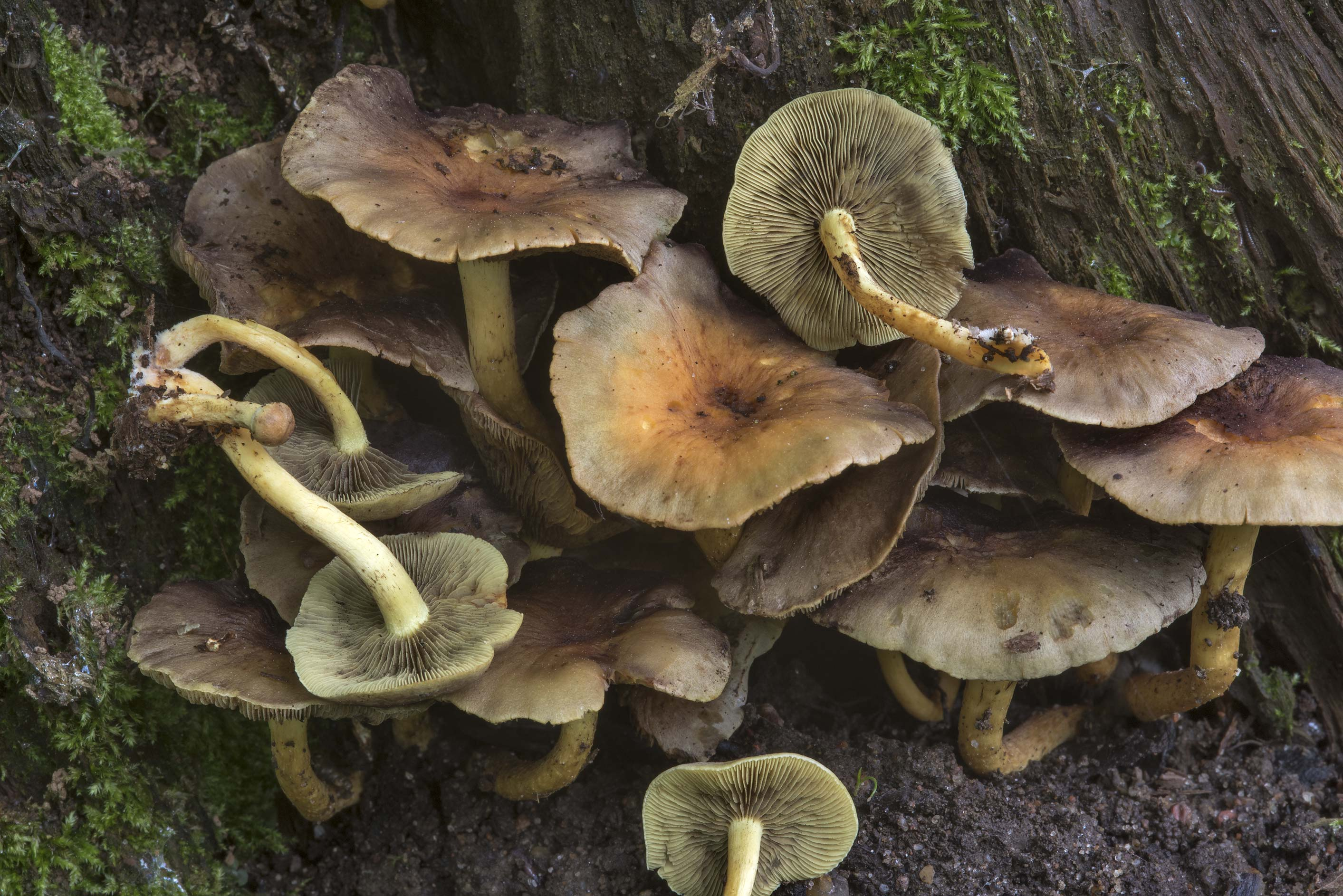 Sulphur tuft mushrooms(Hypholoma fasciculare...Nos, west from St.Petersburg. Russia