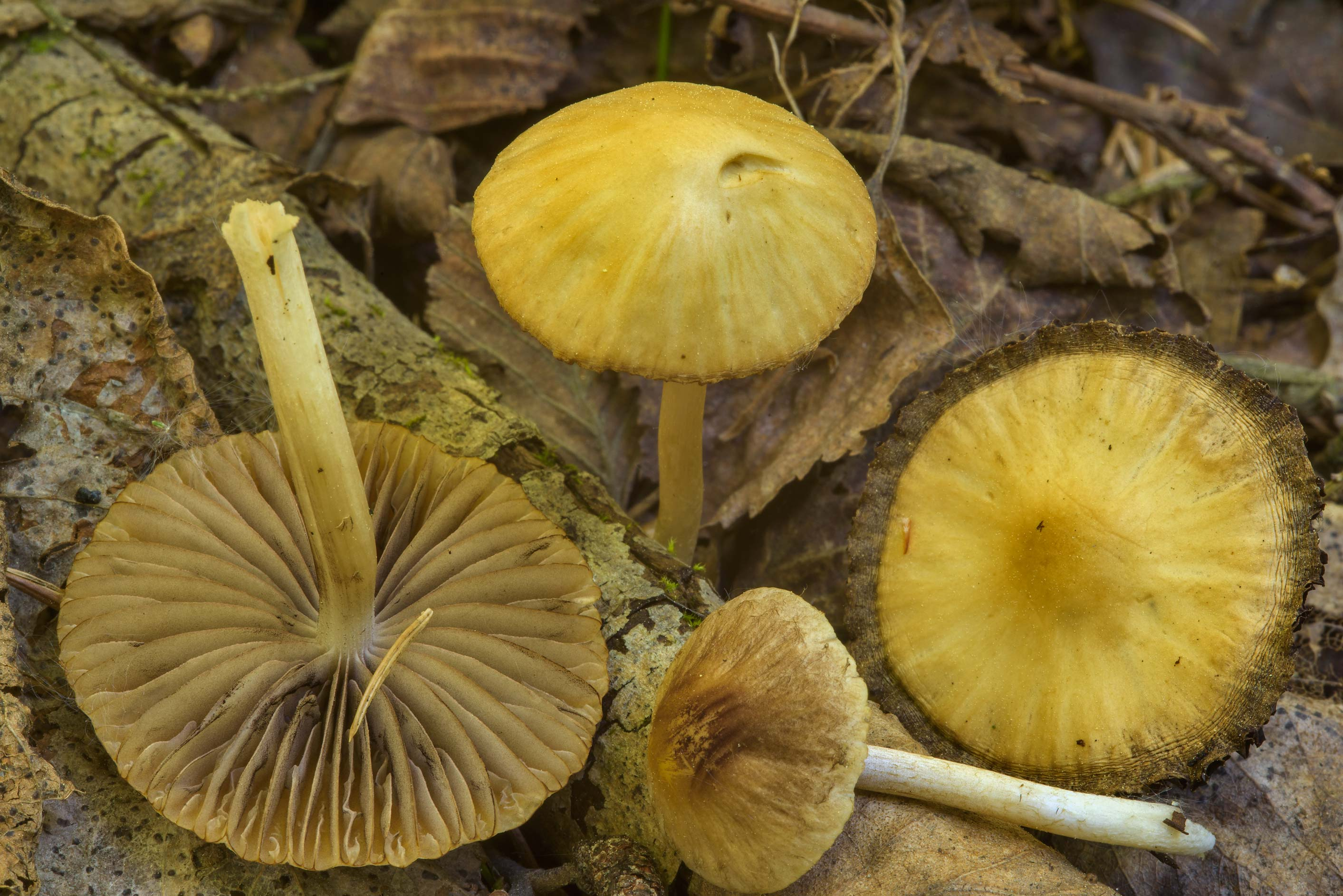 Small brittlestem mushrooms (Psathyrella obtusata...north from St.Petersburg, Russia