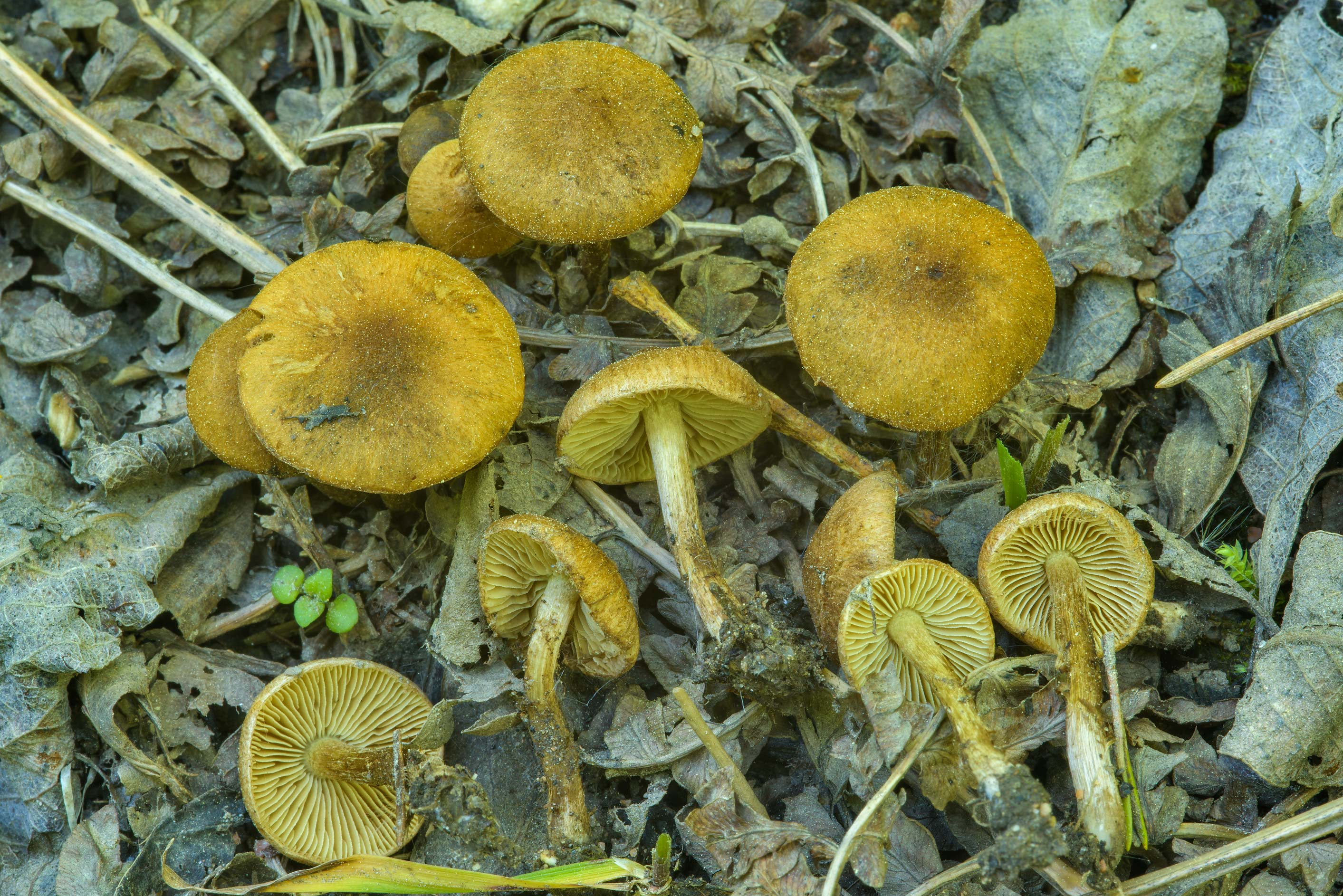 Small fibrecap (Inocybe) mushrooms on roadside...north from St.Petersburg, Russia