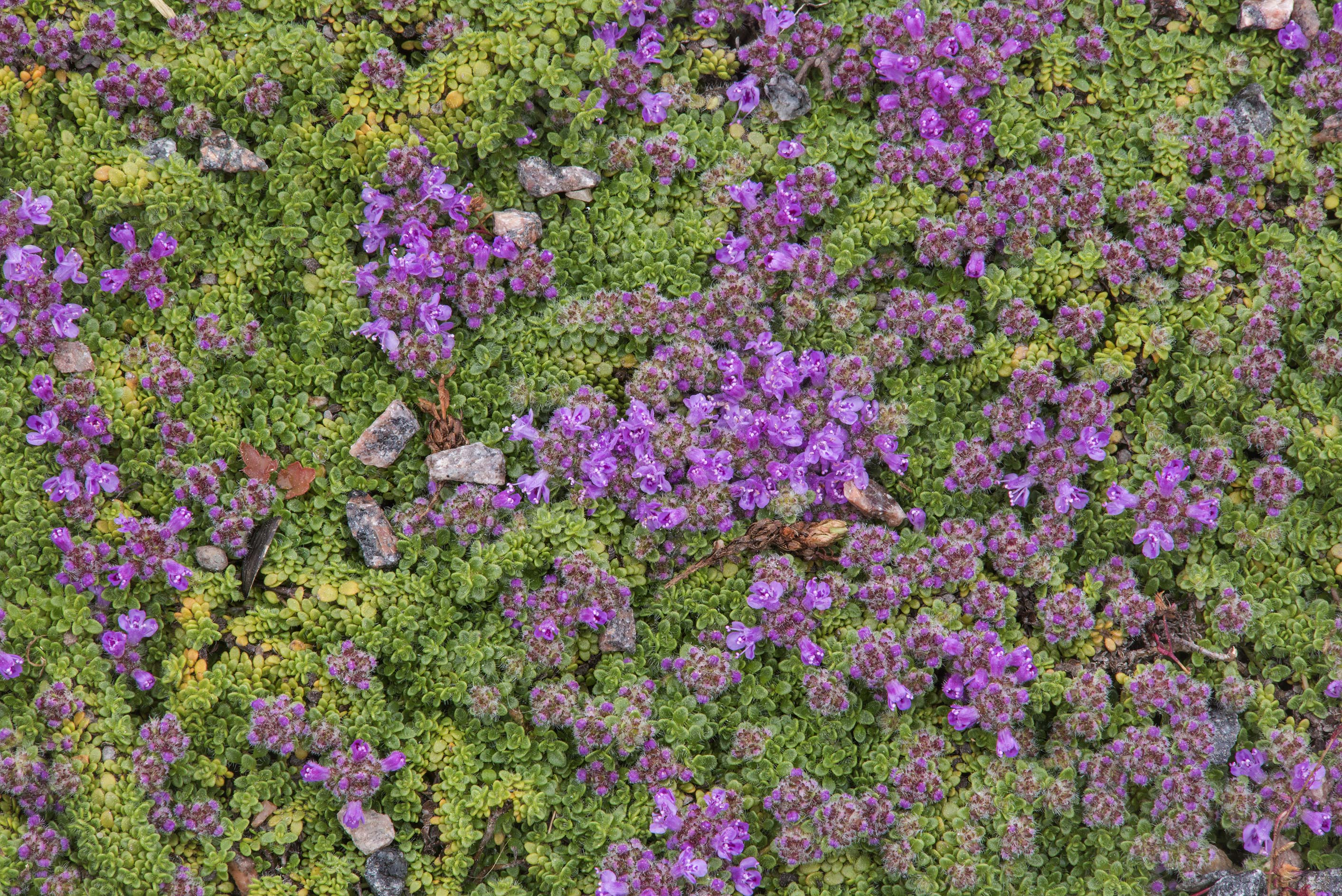 Blooming thyme in Botanic Gardens of Komarov Botanical Institute. St.Petersburg, Russia