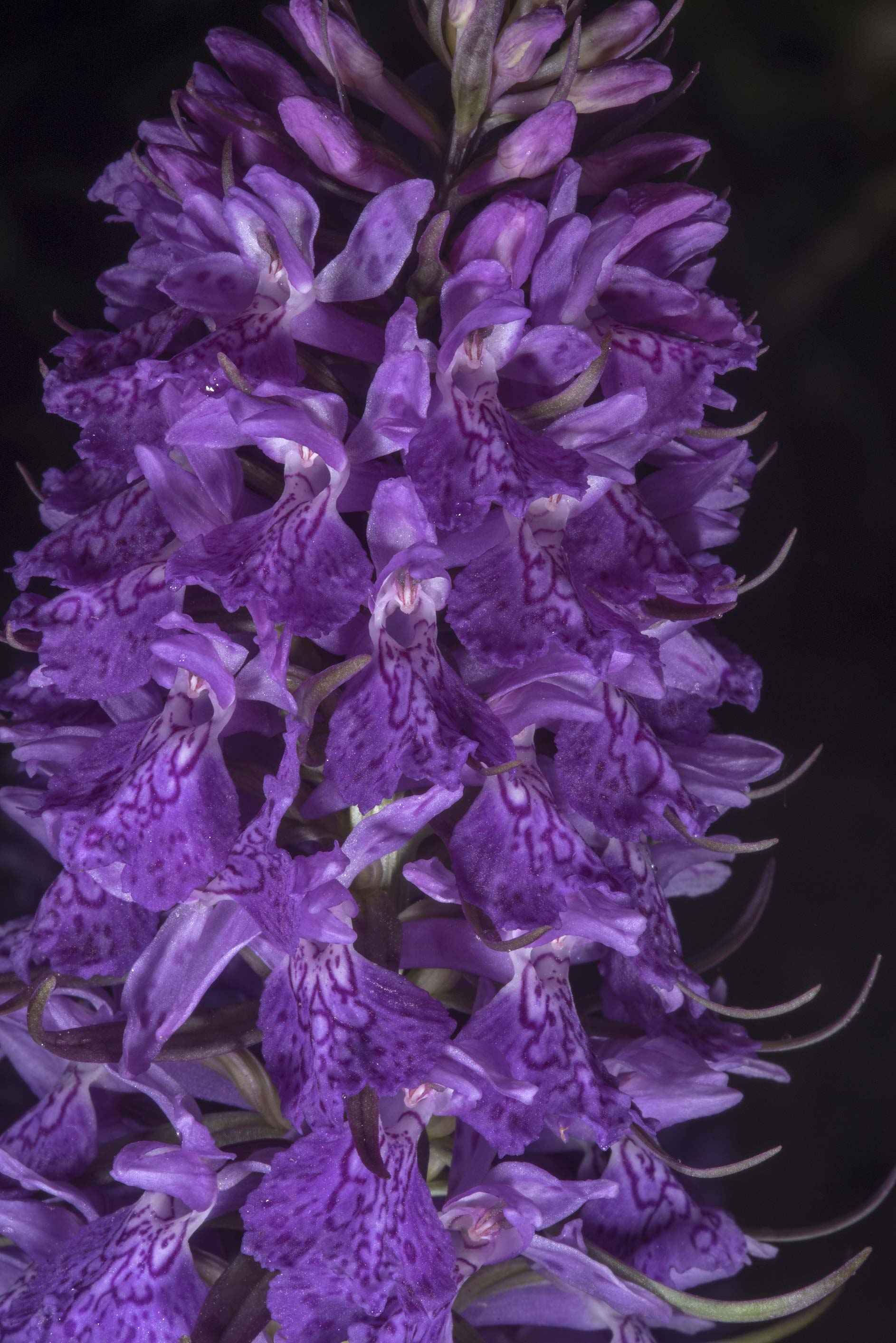 Close up of flowers of marsh orchid in Botanic...Institute. St.Petersburg, Russia