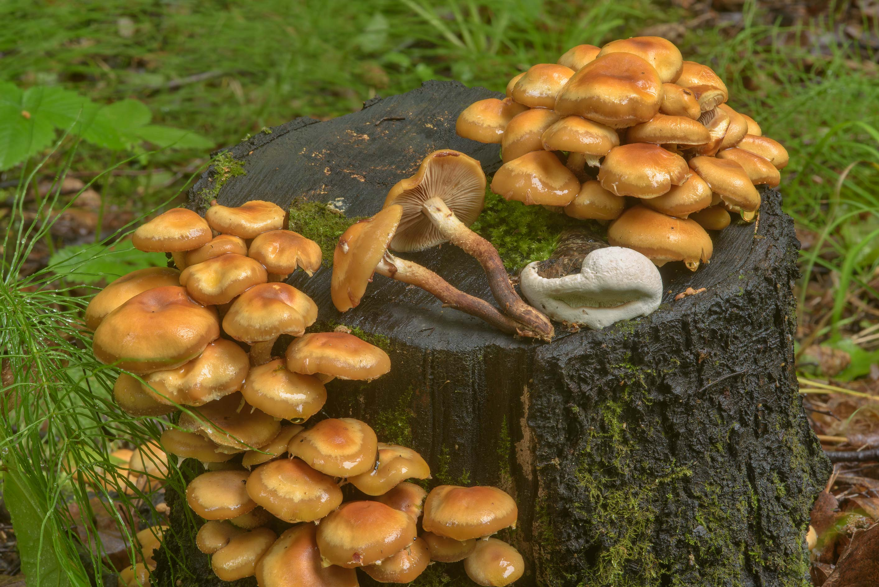 Sheathed woodtuft mushrooms (Kuehneromyces...a suburb of St.Petersburg, Russia