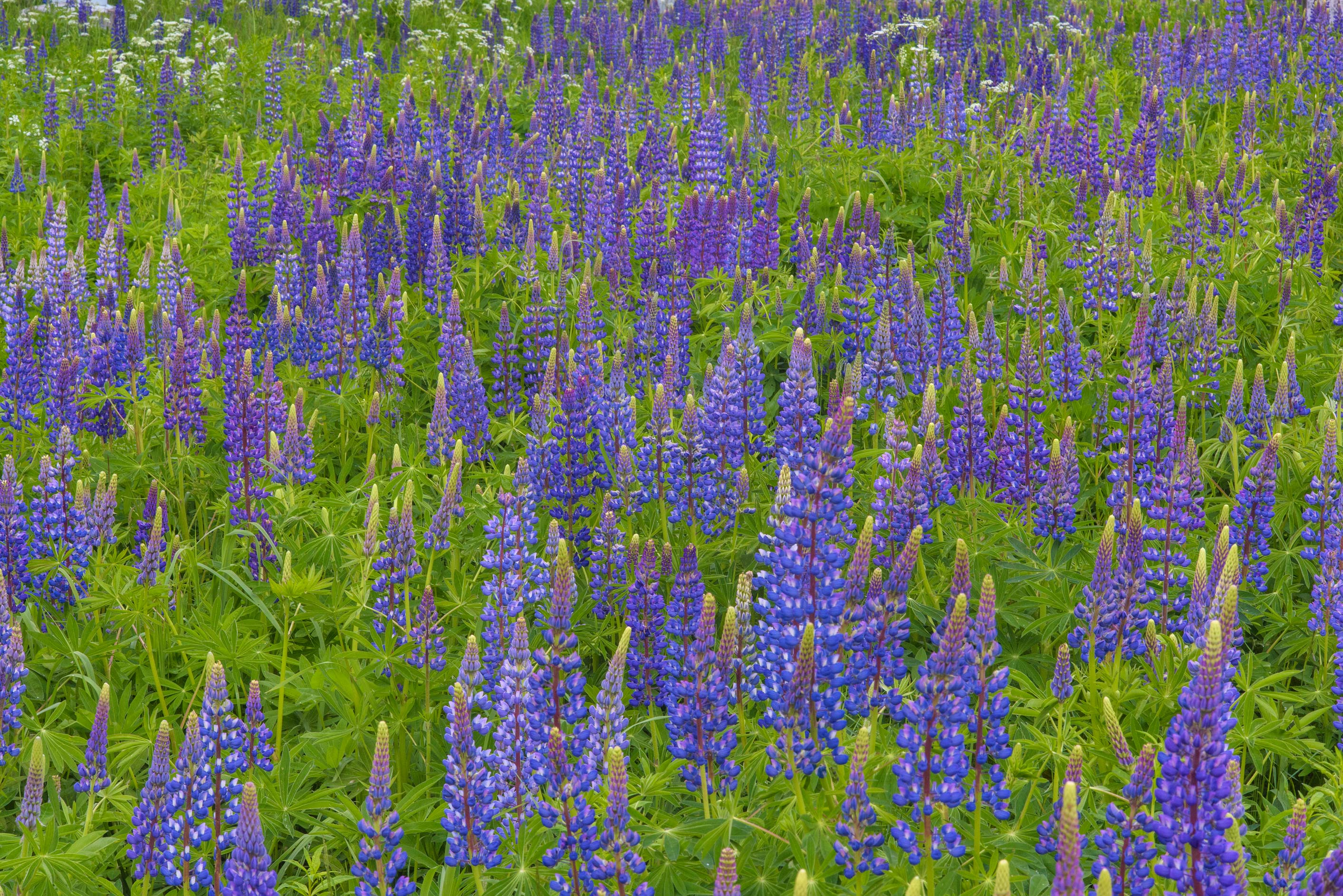 Blue lupin (Lupinus) growing near railroad near Orekhovo, north from St.Petersburg. Russia
