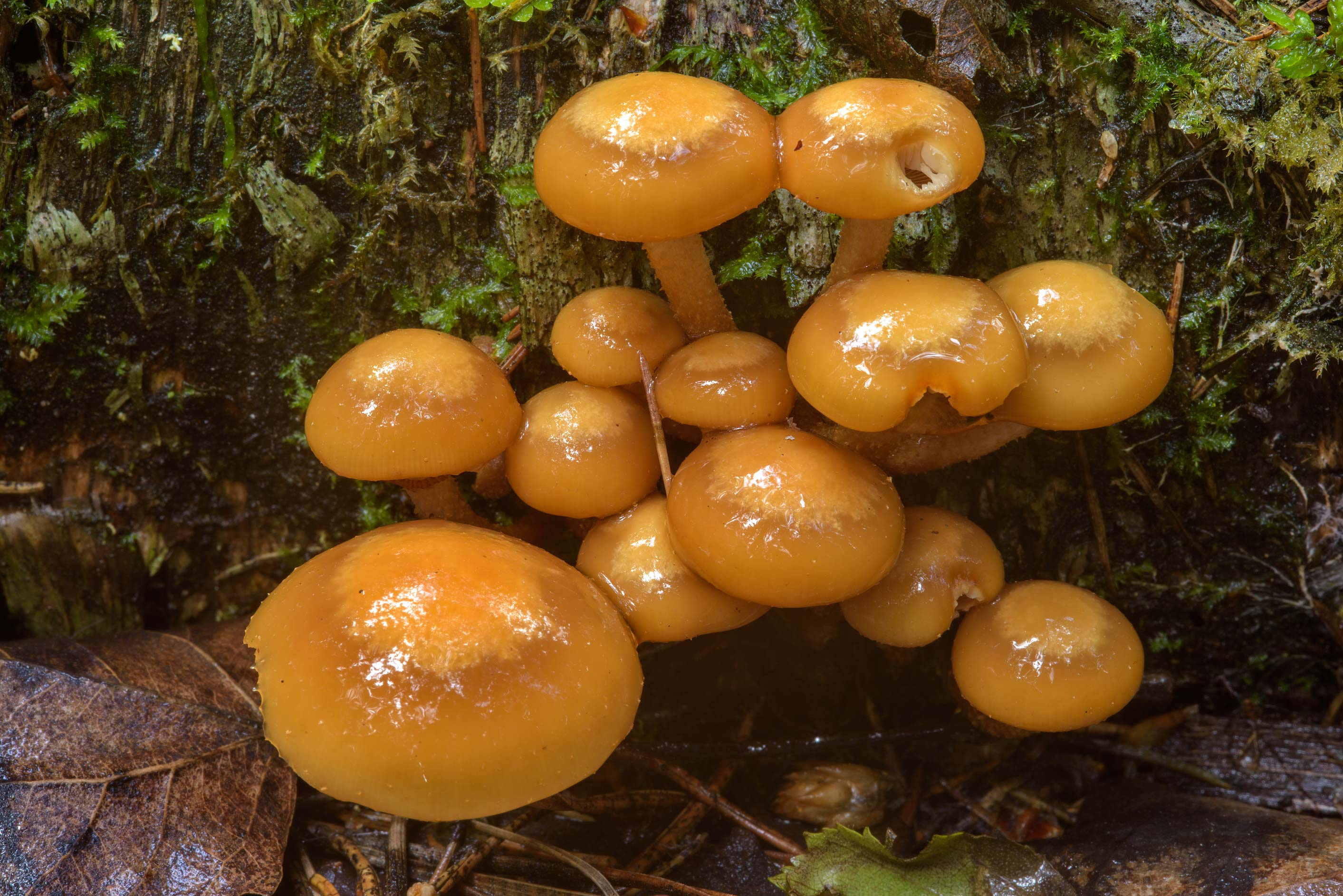 Cluster of sheathed woodtuft mushrooms...west from St.Petersburg. Russia