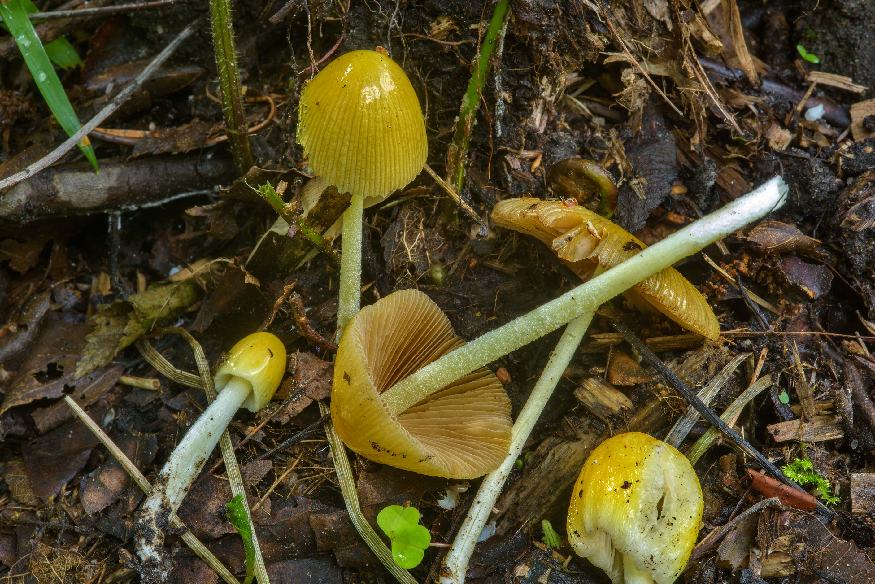 Yellow fieldcap mushrooms (Bolbitius titubans...west from St.Petersburg. Russia
