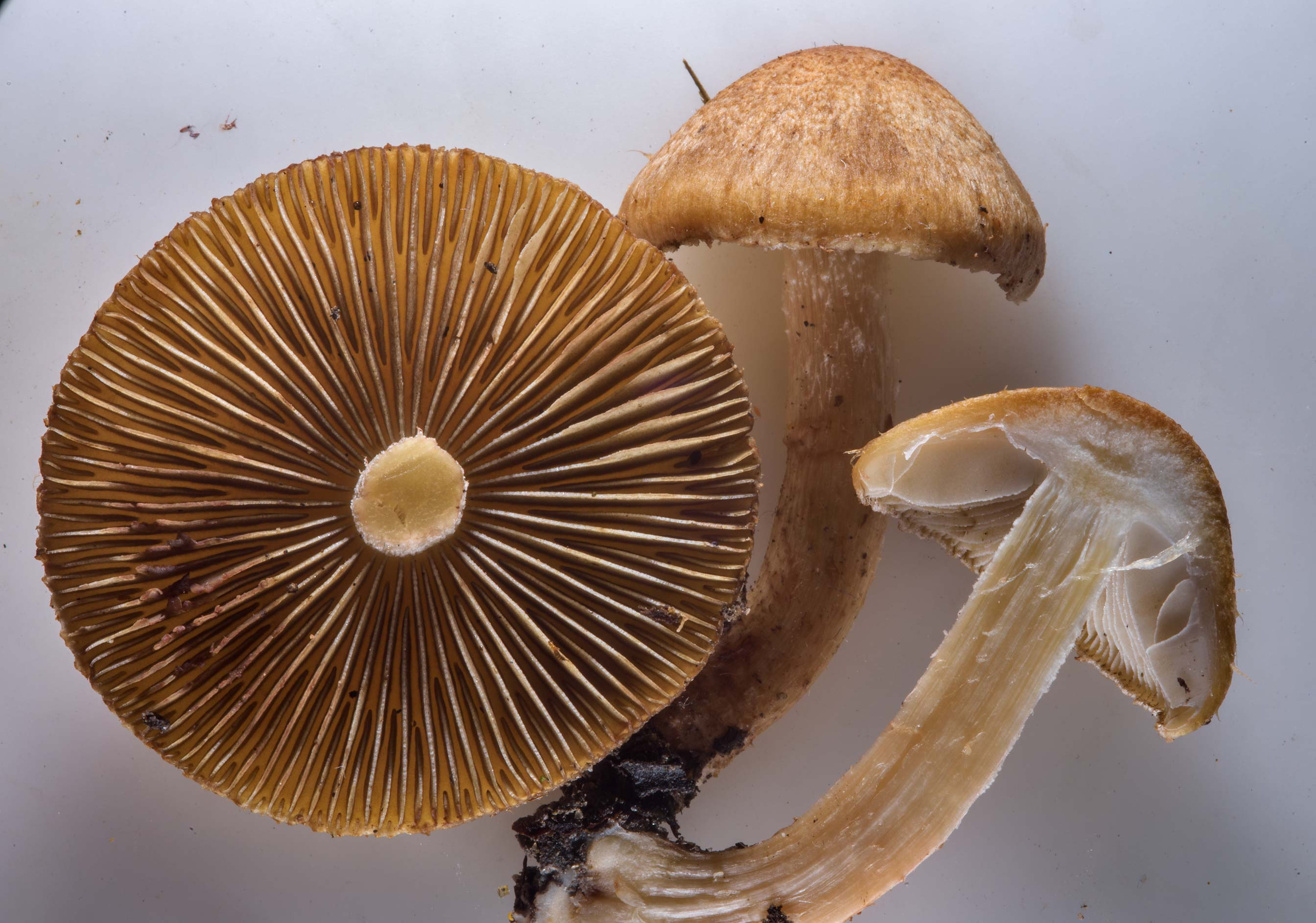 Close up of fibrecap mushrooms Inocybe fuscidula...west from St.Petersburg. Russia