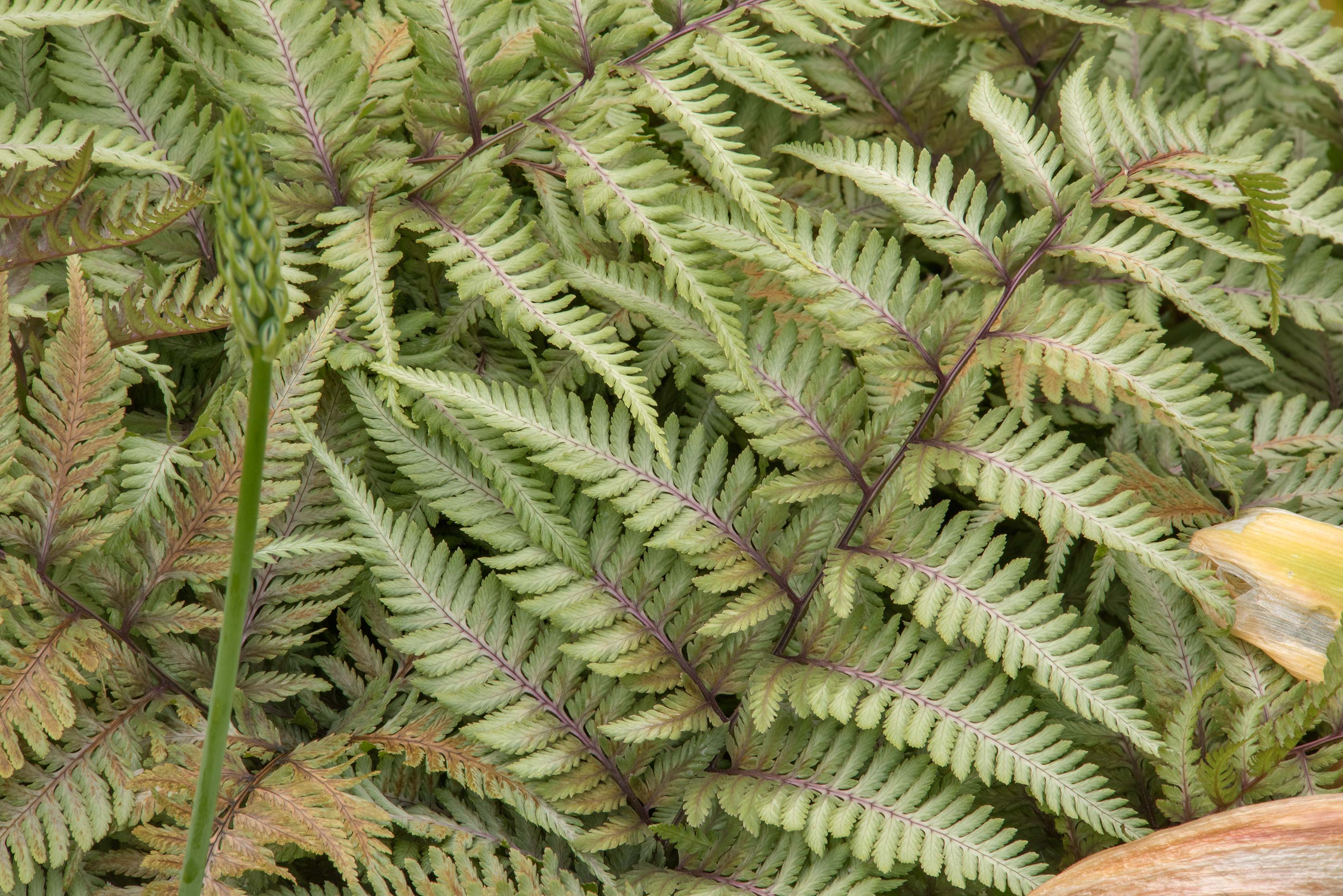 Fern with white leaves in Botanic Gardens of...Institute. St.Petersburg, Russia