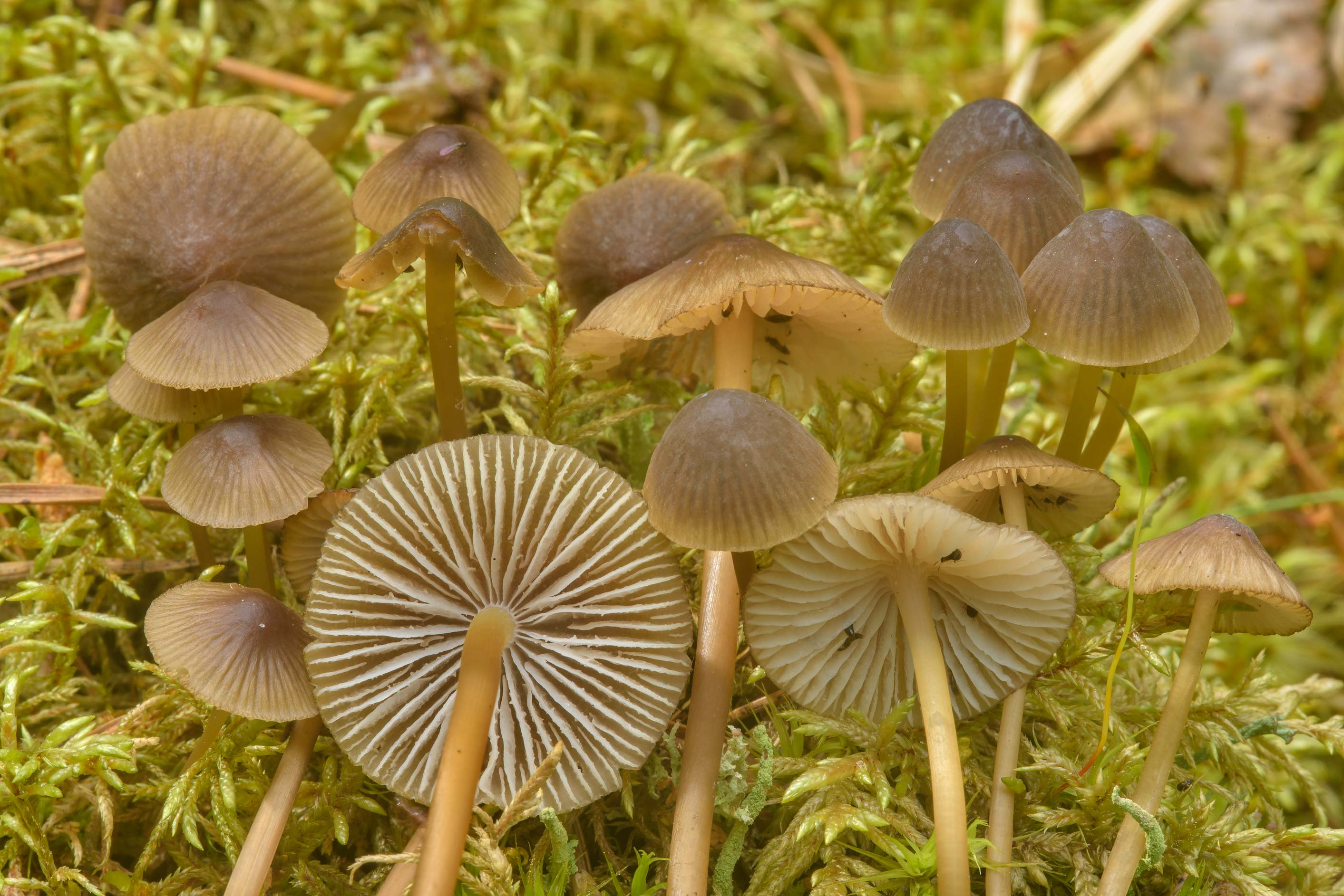 Olive edge bonnet mushrooms (Mycena...miles north from St.Petersburg. Russia