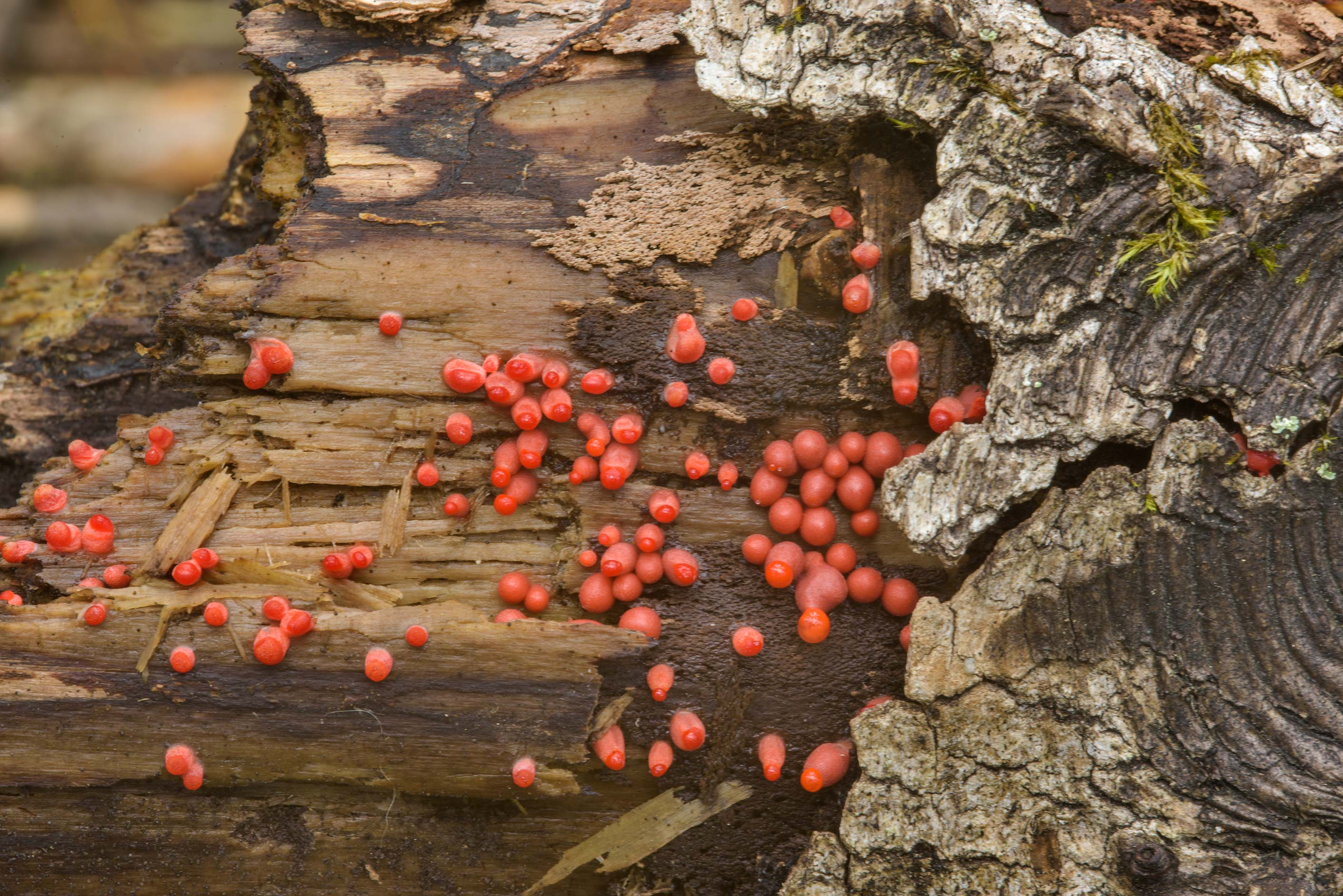 Small red balls of Wolf's milk slime mold...Sosnovka Park. St.Petersburg, Russia