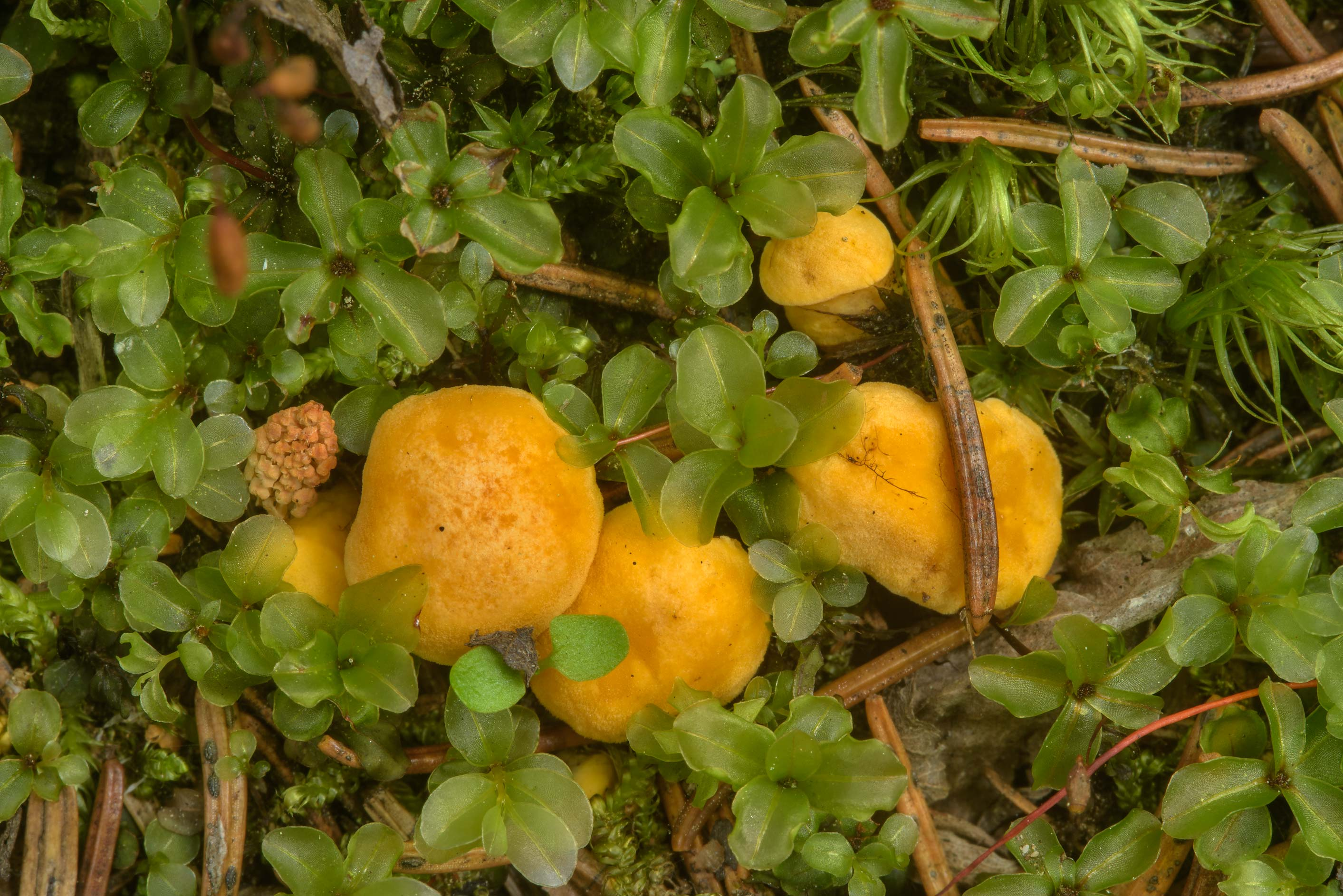 Immature chanterelle mushrooms (Cantharellus...west from St.Petersburg. Russia