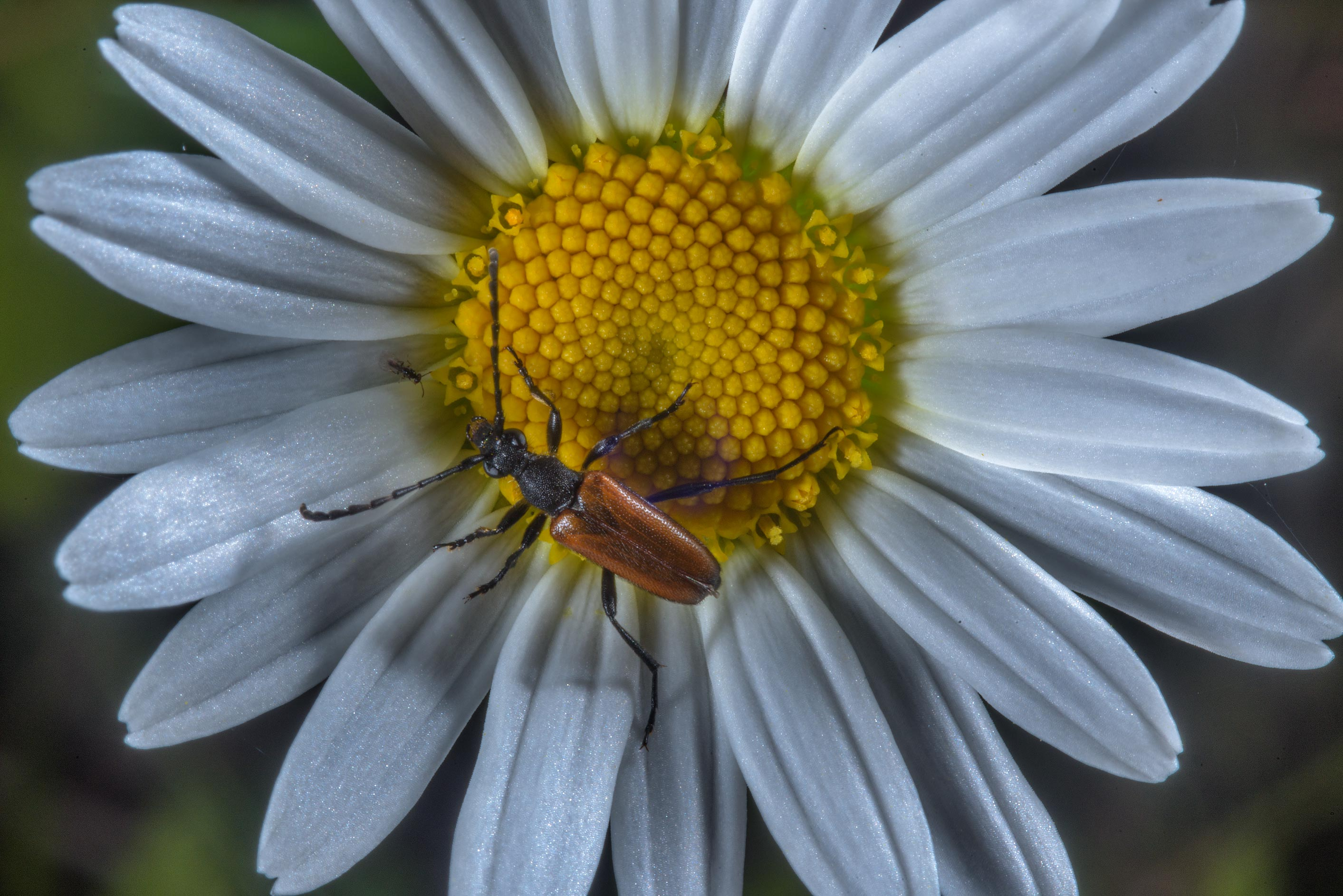 Brown beetle on a daisy flower in Posiolok near Vyritsa, south from St.Petersburg, Russia