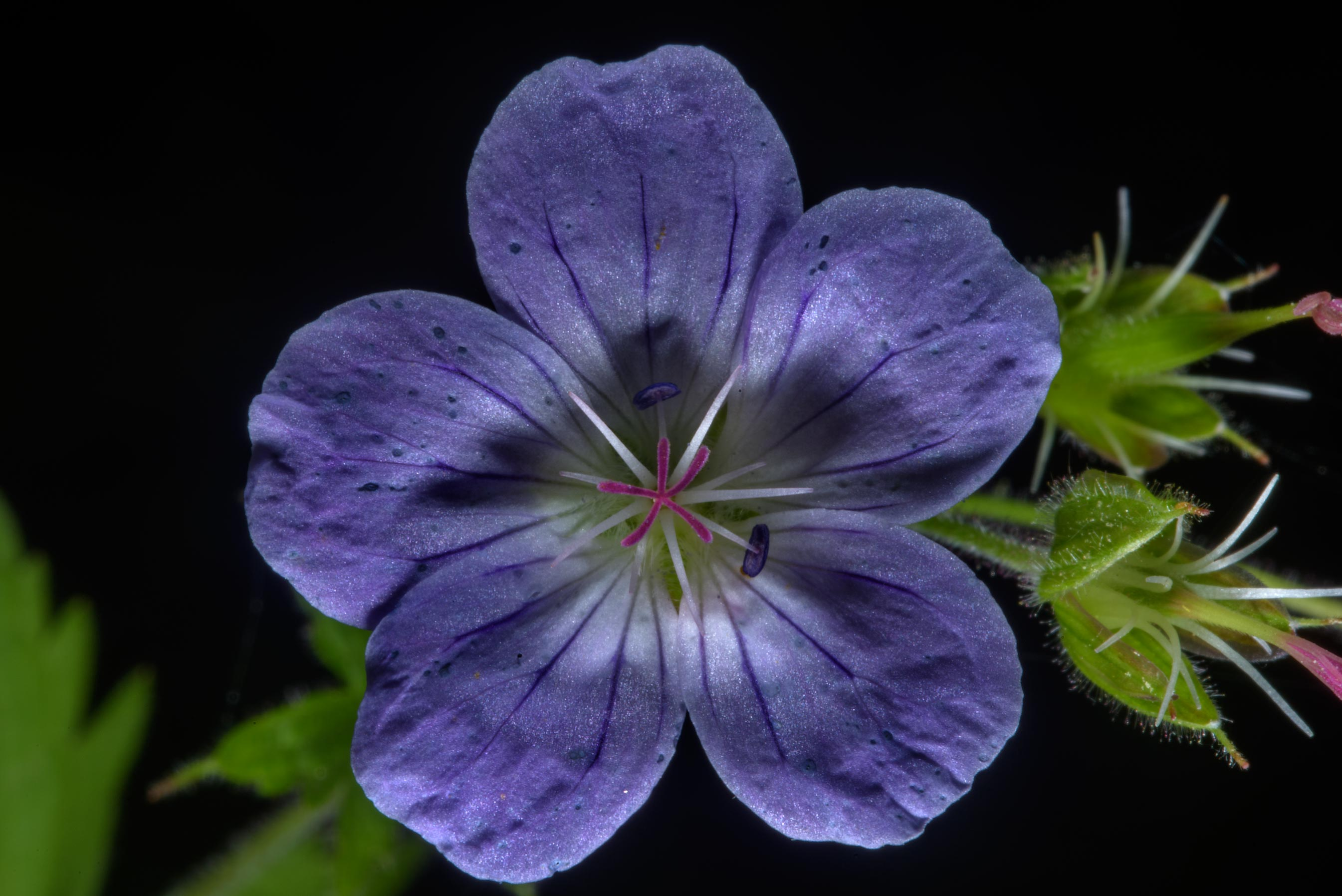 Blue geranium flower in Posiolok near Vyritsa, south from St.Petersburg, Russia