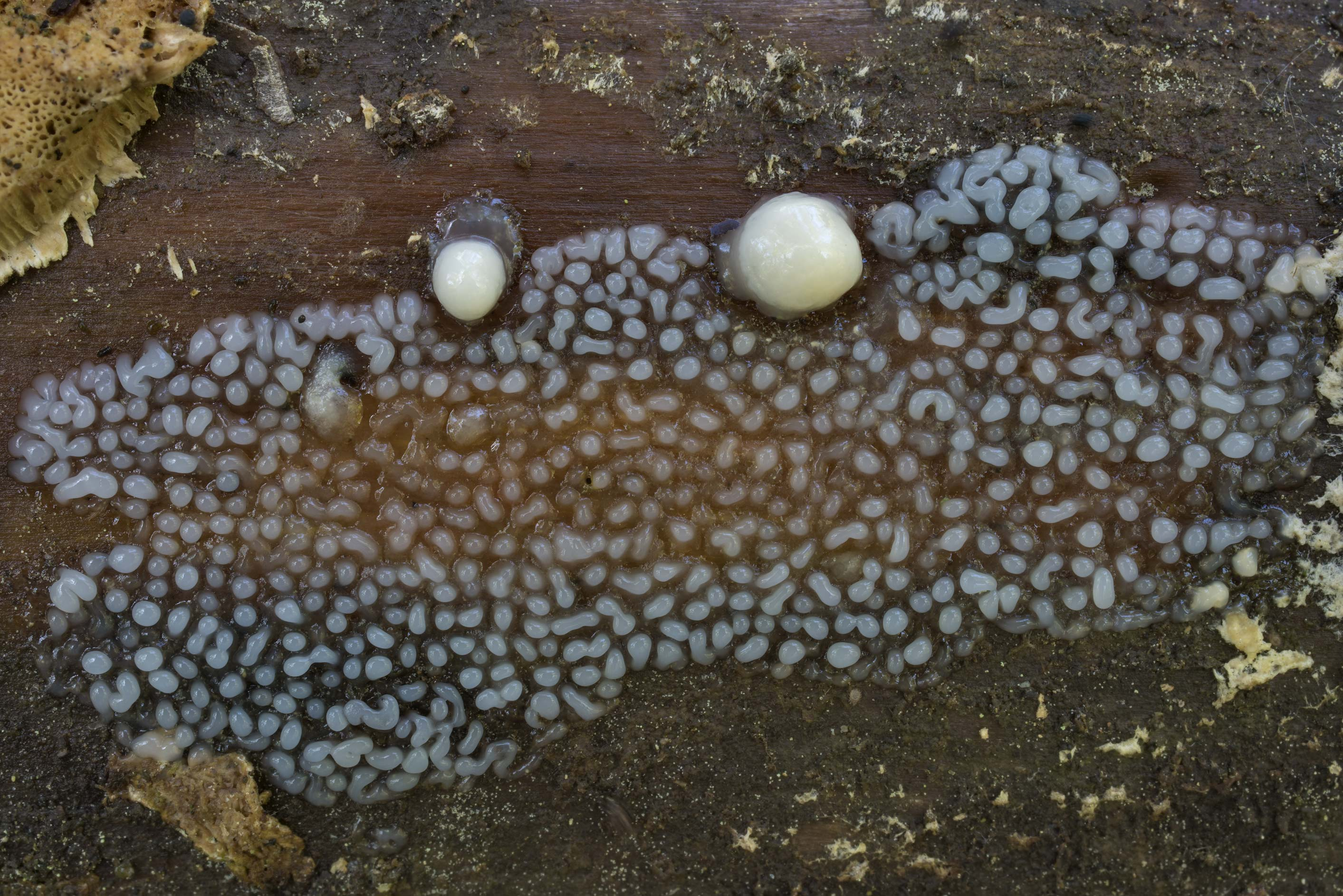 Immature coral slime mold (Ceratiomyxa...north from St.Petersburg. Russia
