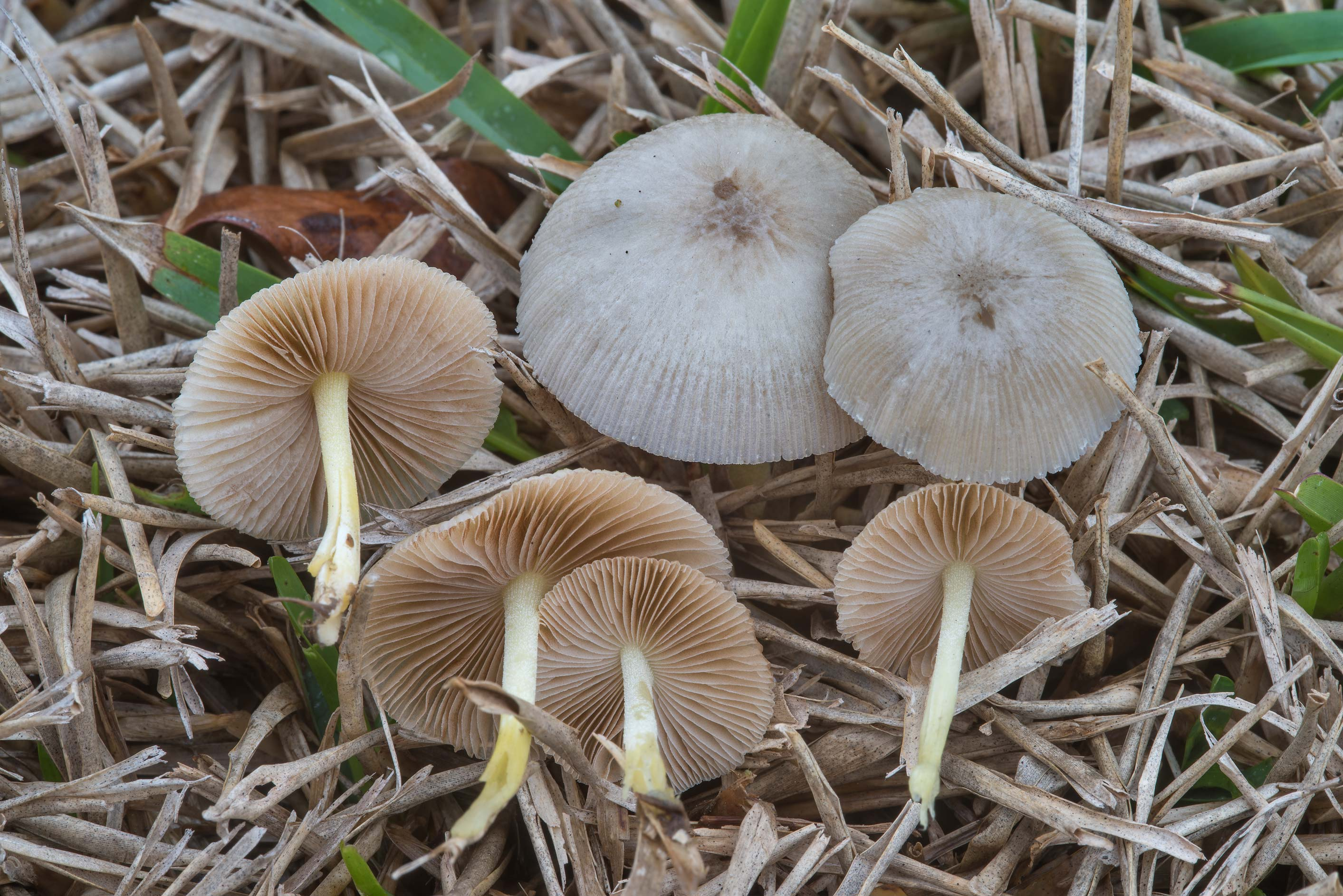 Bolbitius aleuriatus mushrooms in grass on the...at Texas Ave.. College Station, Texas