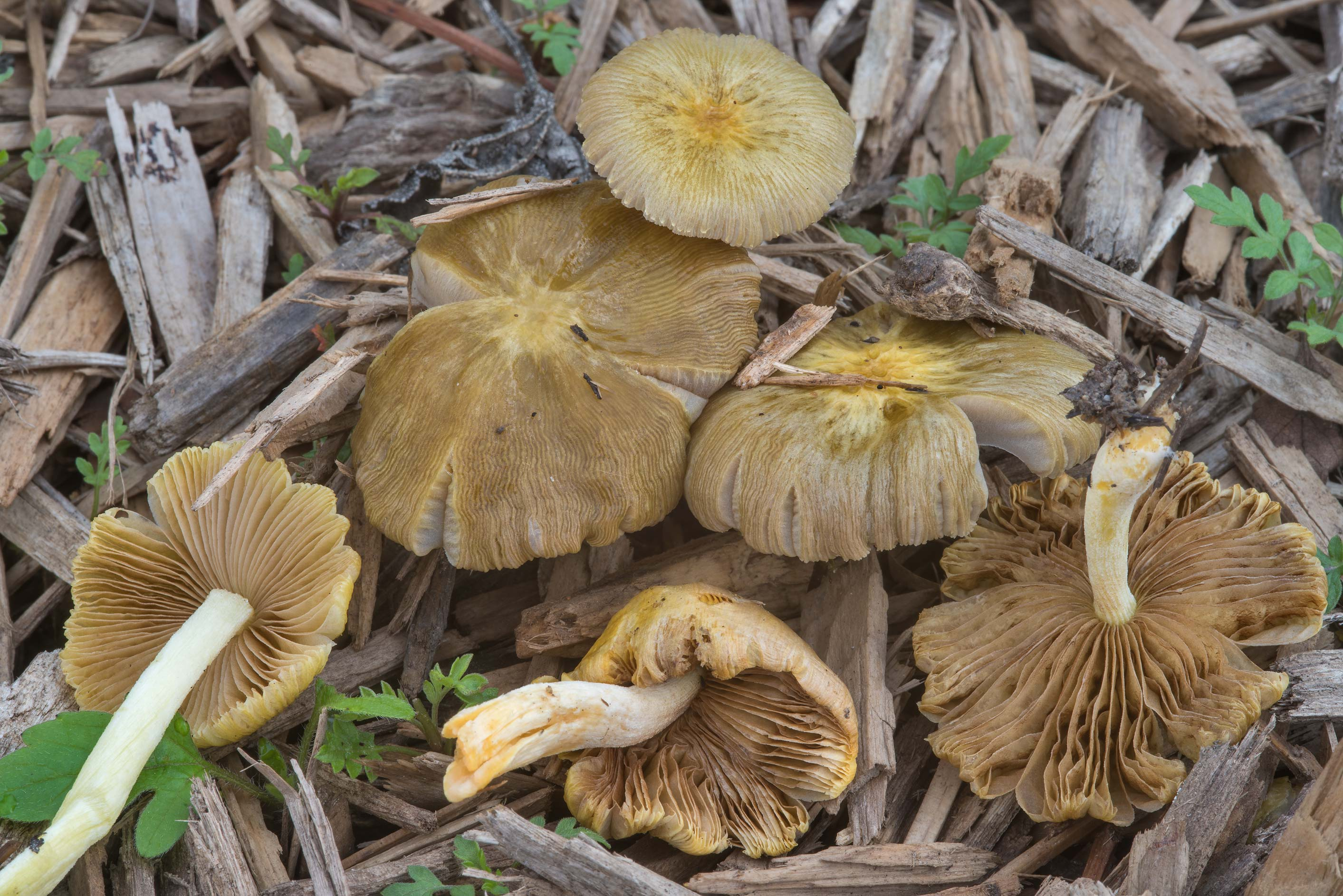 Yellow fieldcap mushrooms (Bolbitius titubans) on...Polo Fields. College Station, Texas