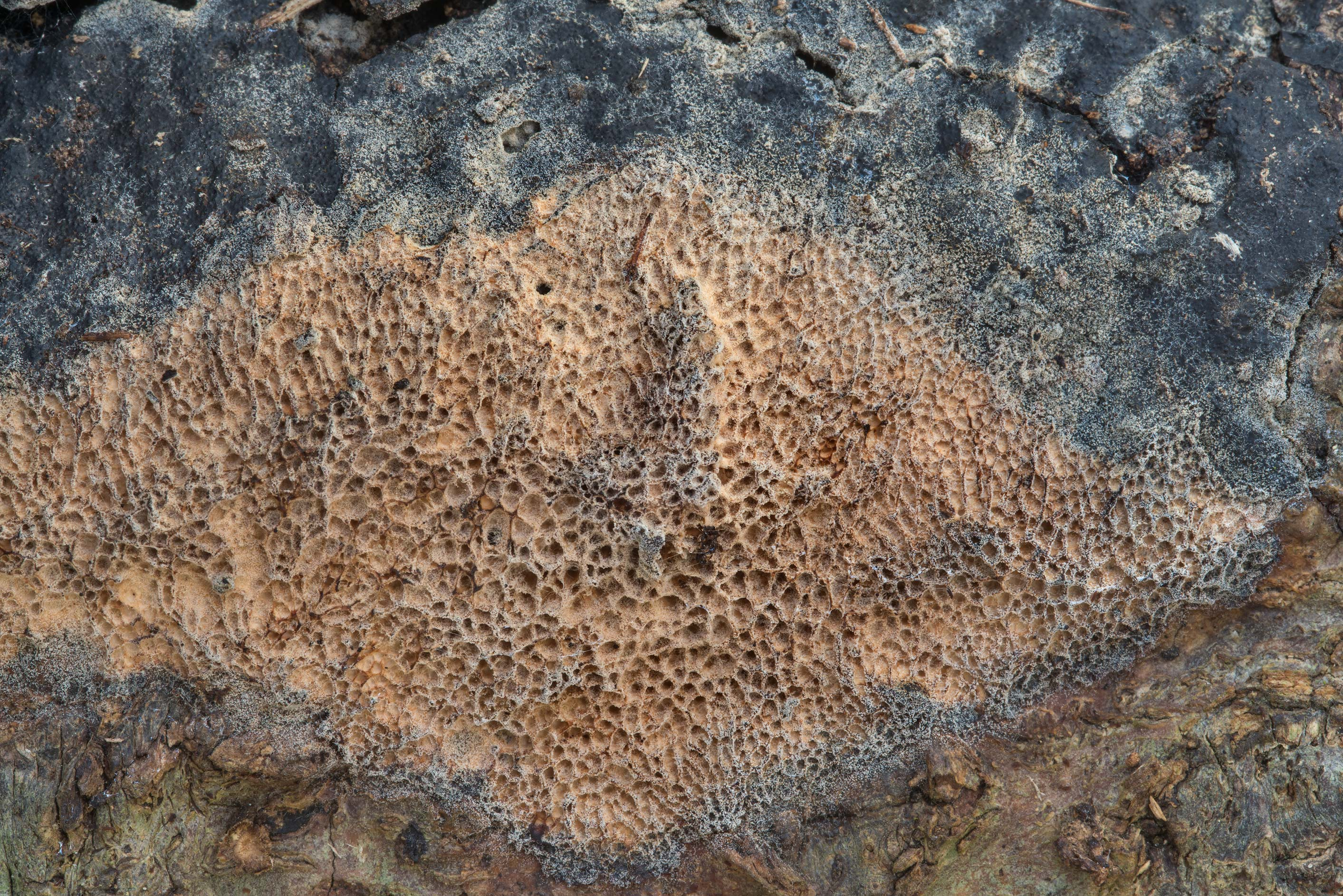 Some porous crust fungus in Bee Creek Park. College Station, Texas