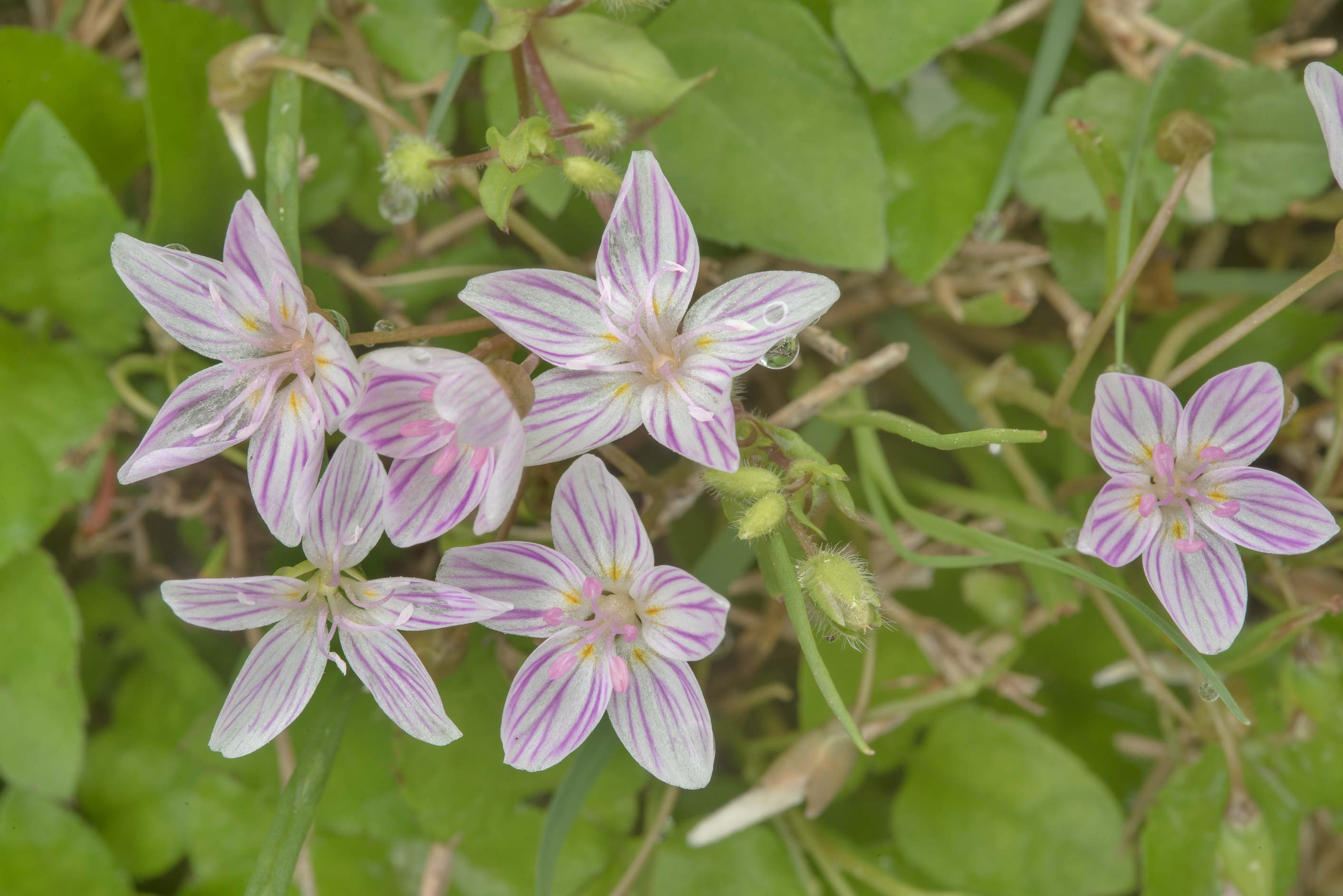 Spring beauty flowers (Claytonia virginica) in Wolf Pen Creek Park. College Station, Texas