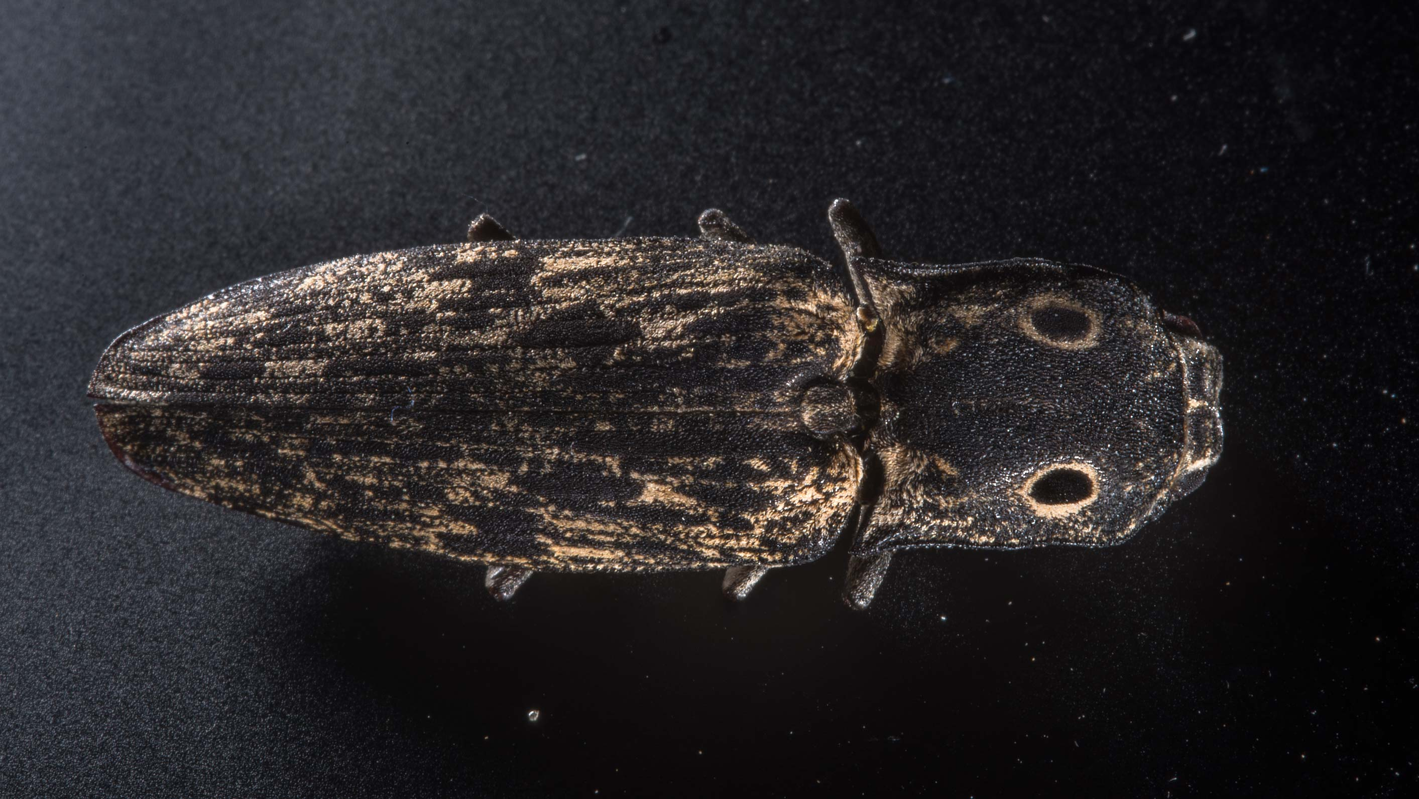 Click beetle found on a rotten tree in Wolf Pen Creek Park. College Station, Texas