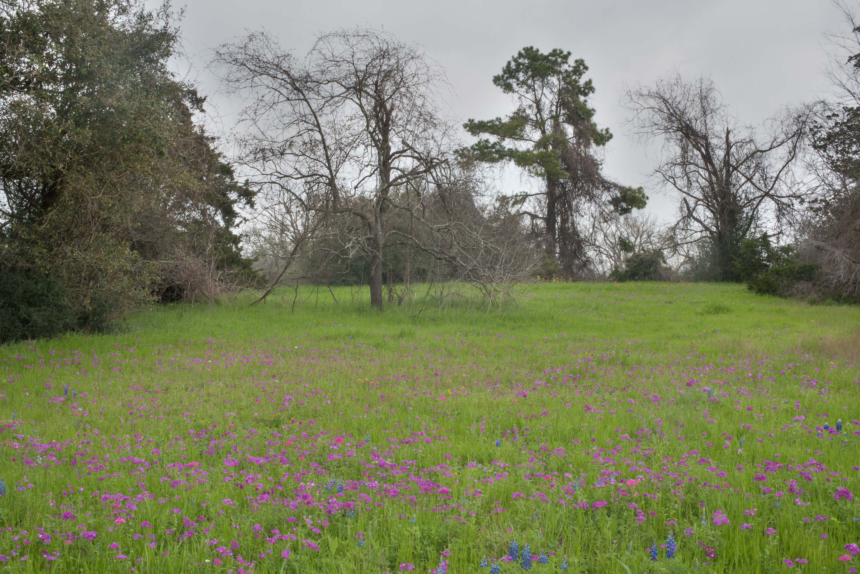 Beginning of bloom of pointed phlox (Phlox...State Historic Site. Washington, Texas