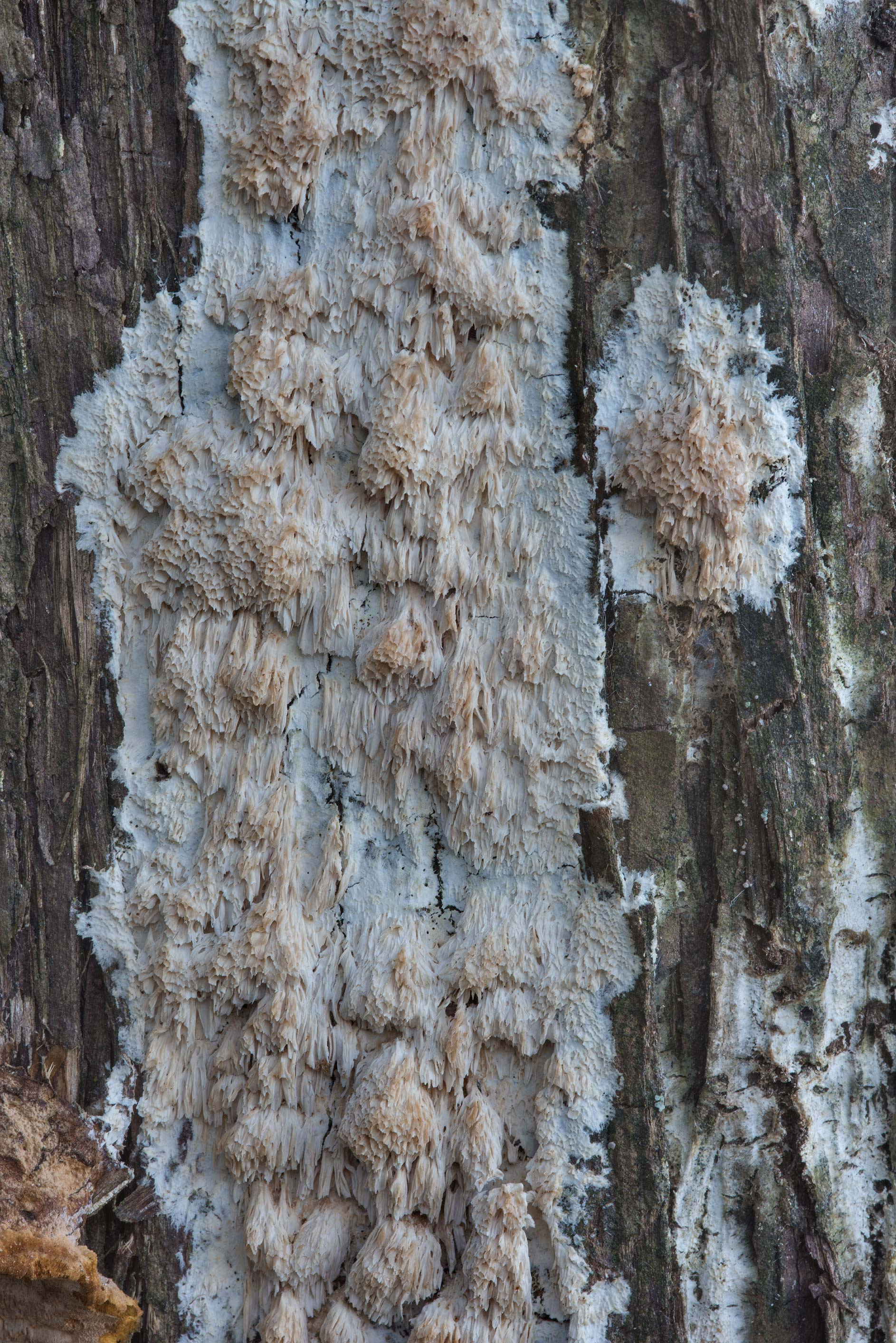 Some porous crust fungus on a dry red cedar tree in Lake Bryan Park. Bryan, Texas